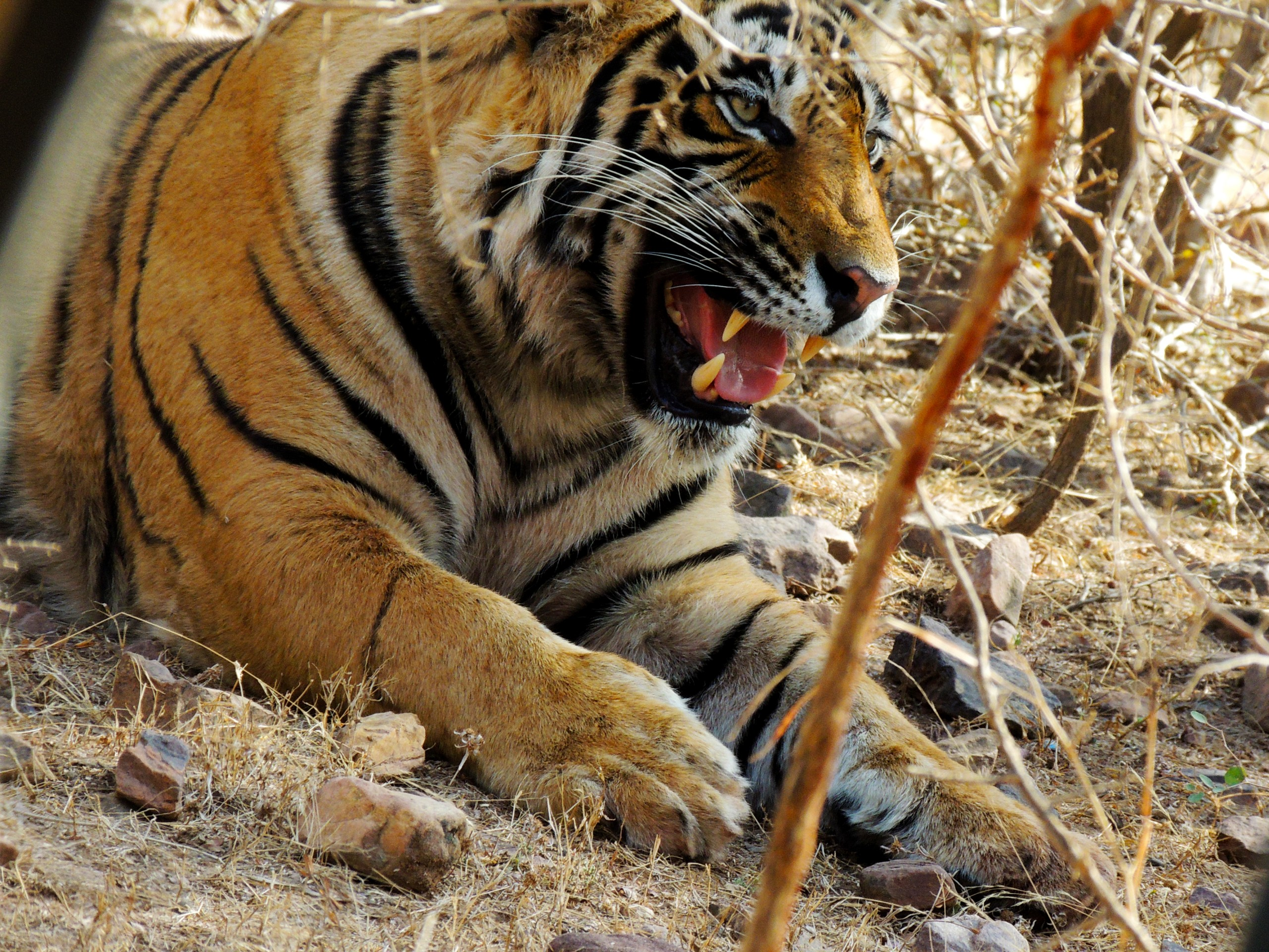 Tiger on Focus