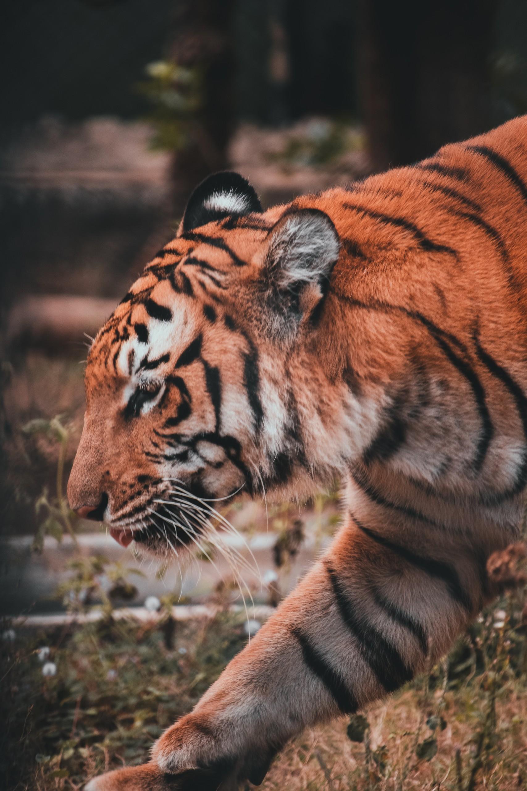Tiger taking a walk