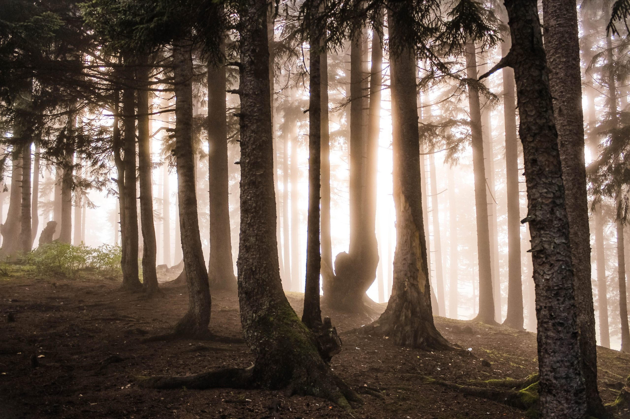 Tree silhouettes in the foggy forest