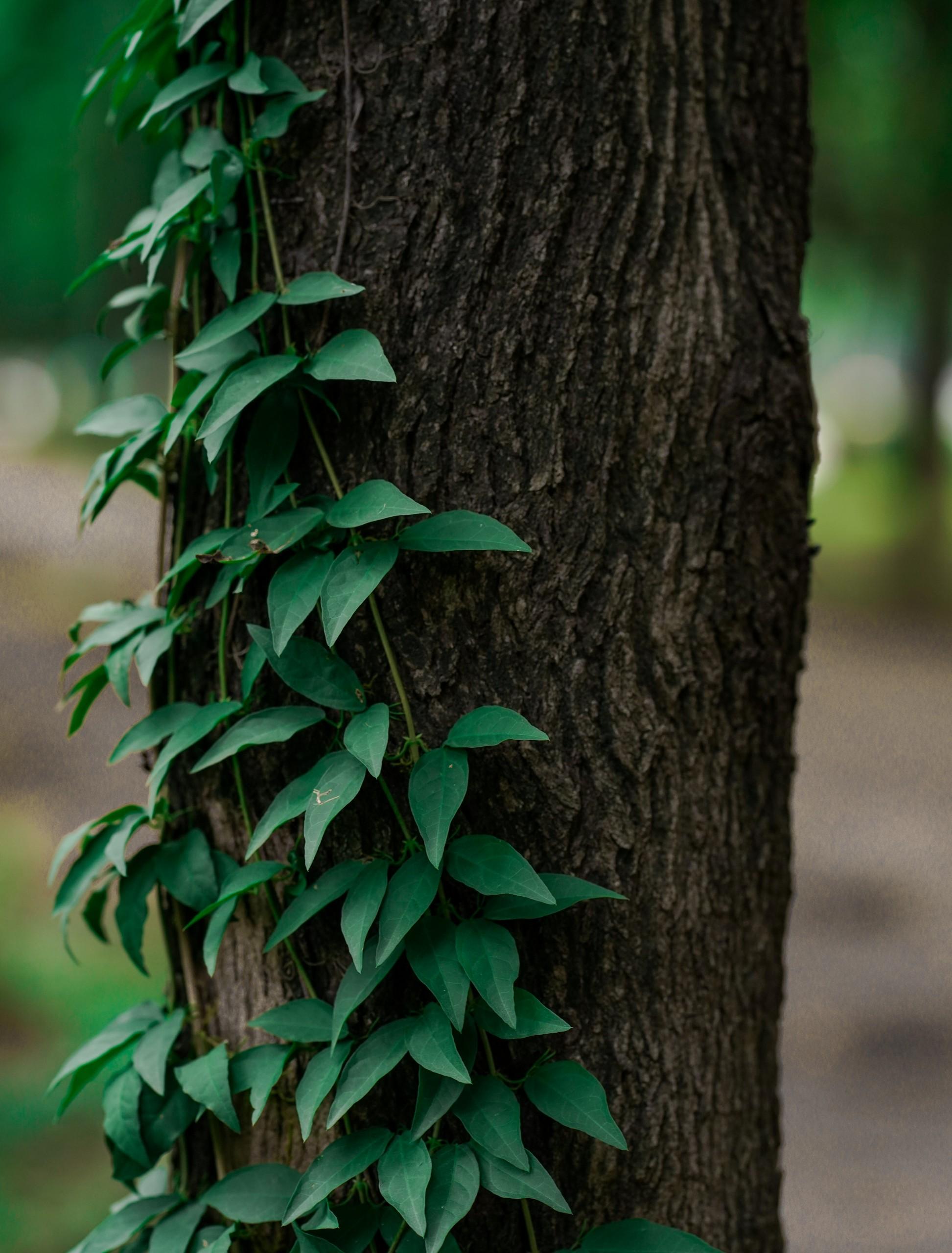 Climbing plant on Tree trunk