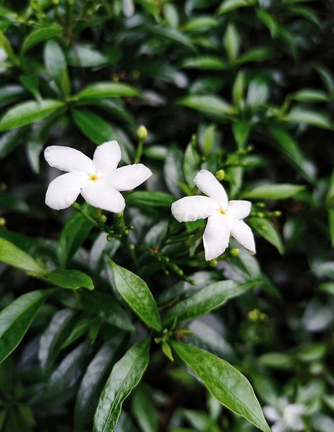 Five Petal White Flowers