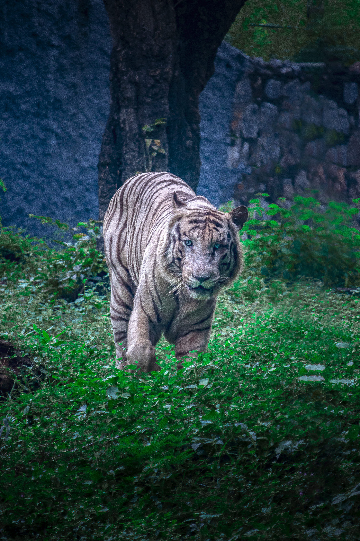 Tiger walking in a wildlife park