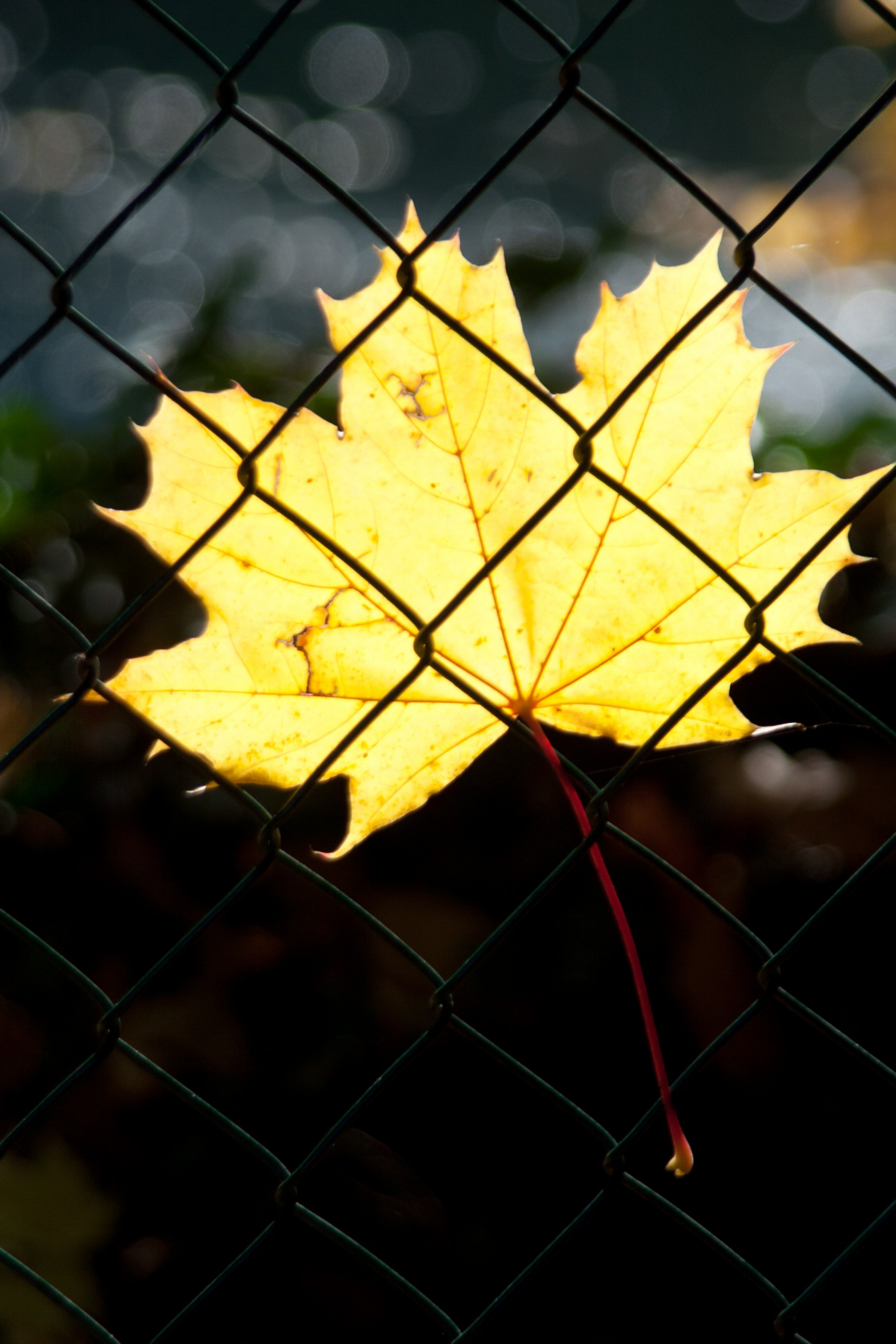 A maple leaf behind the net