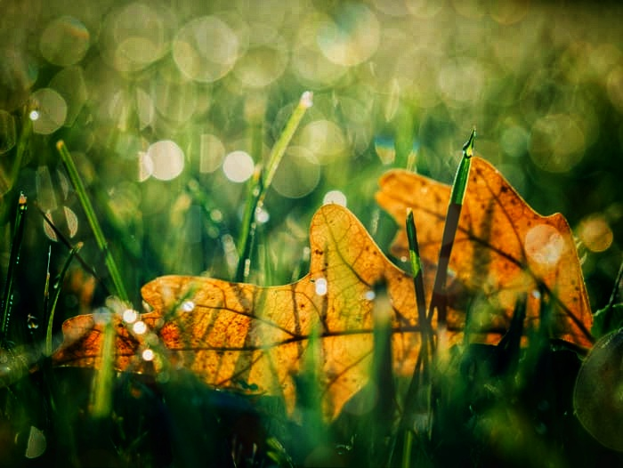 yellow leaves on grass - macro photography