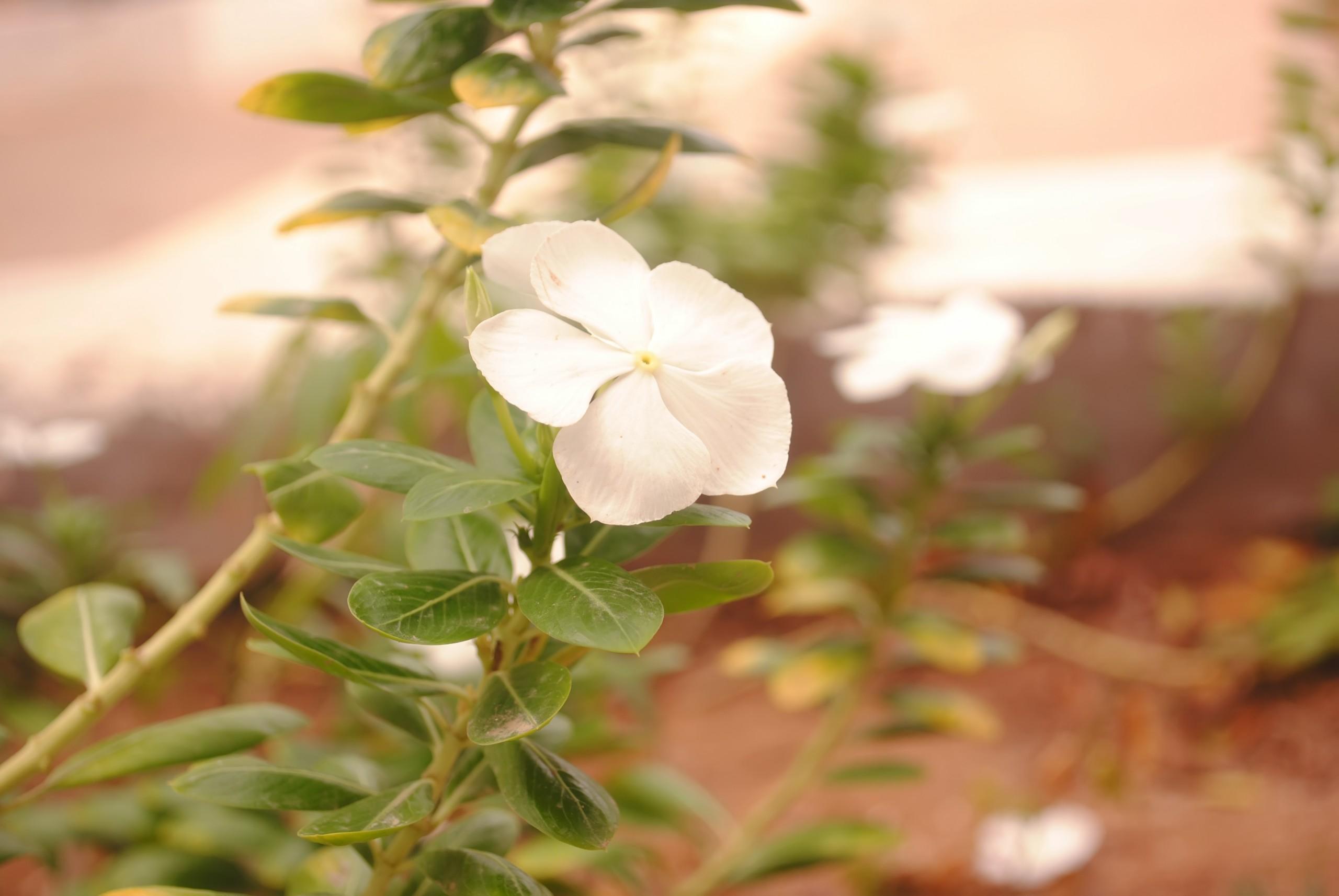 white Perennial flower on Focus
