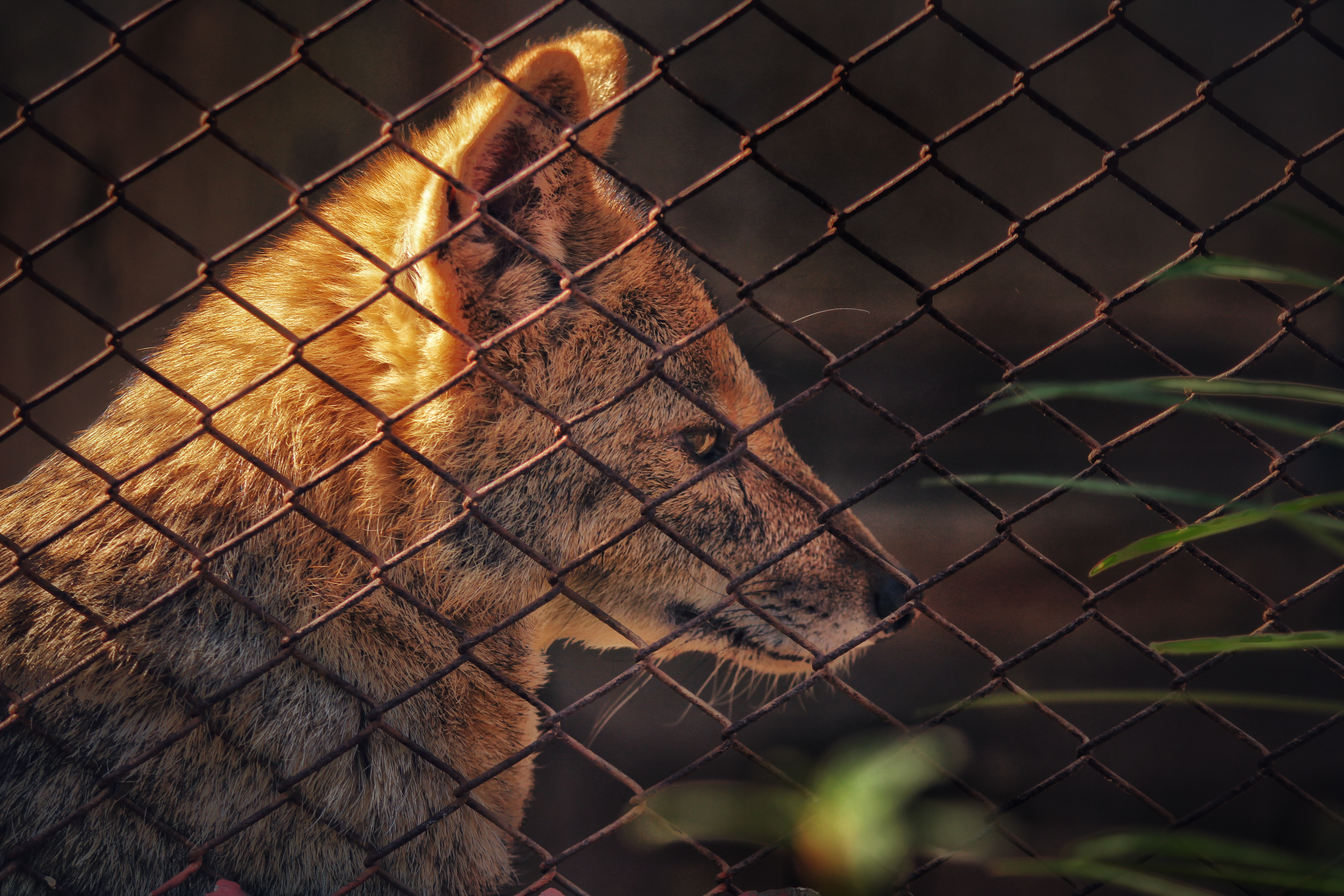 Fox behind the cage