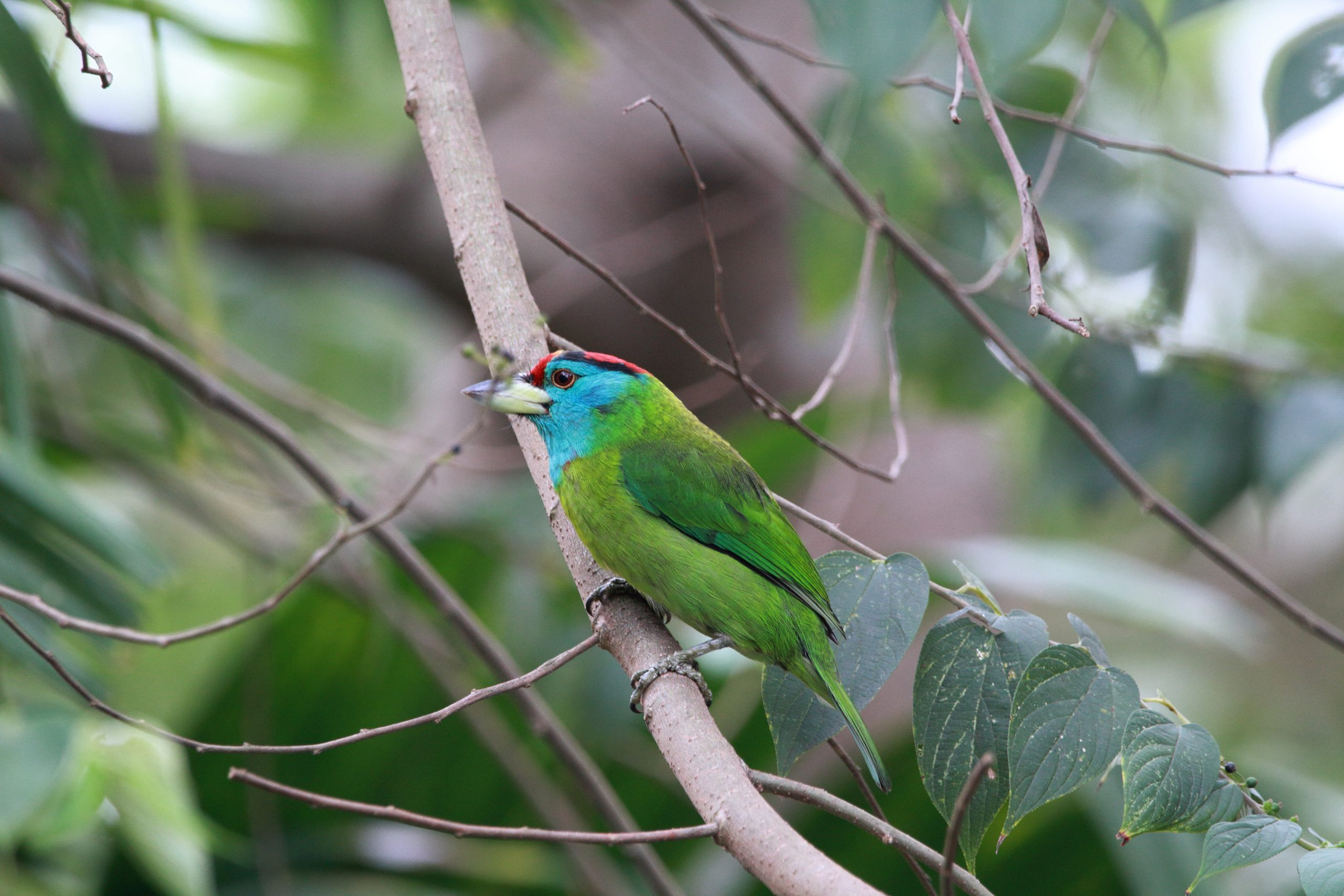 A Blue Throated Barbet Perching