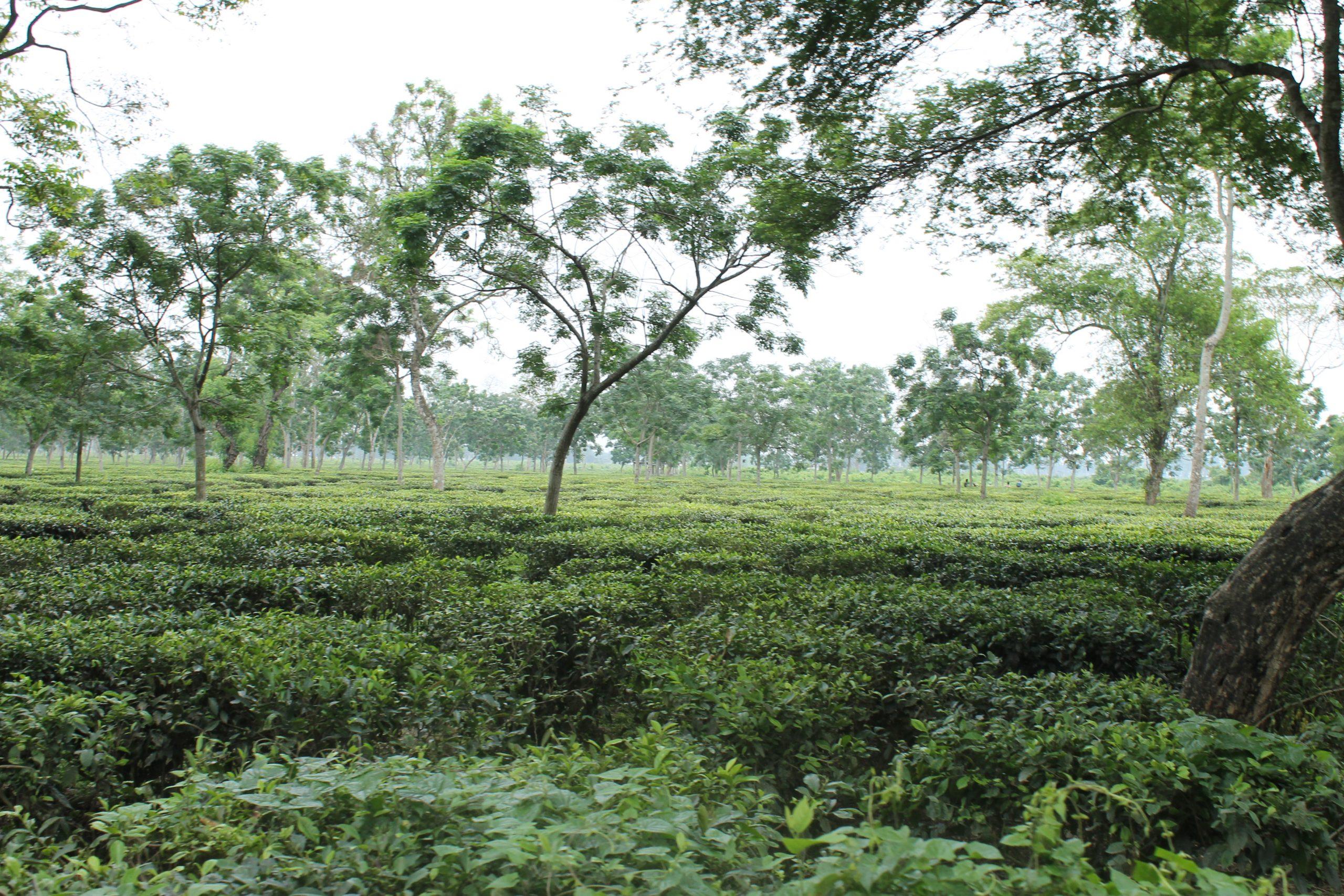 A Field Scenery
