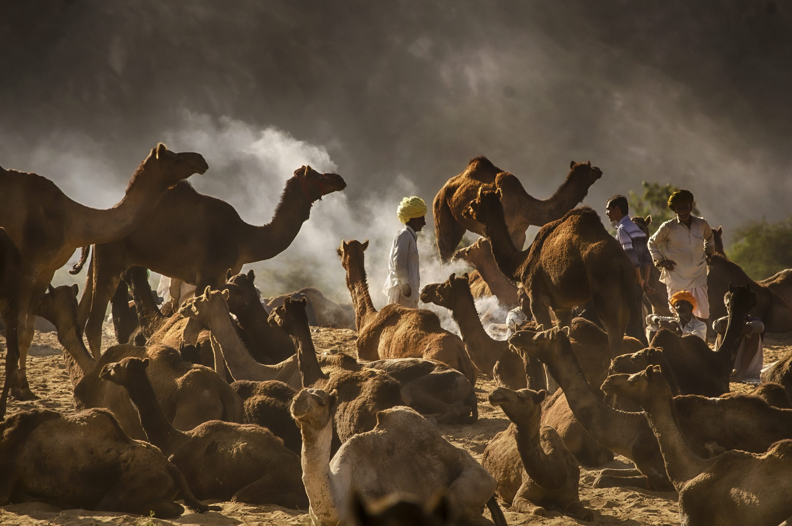 A Herd of Camel in the Desert