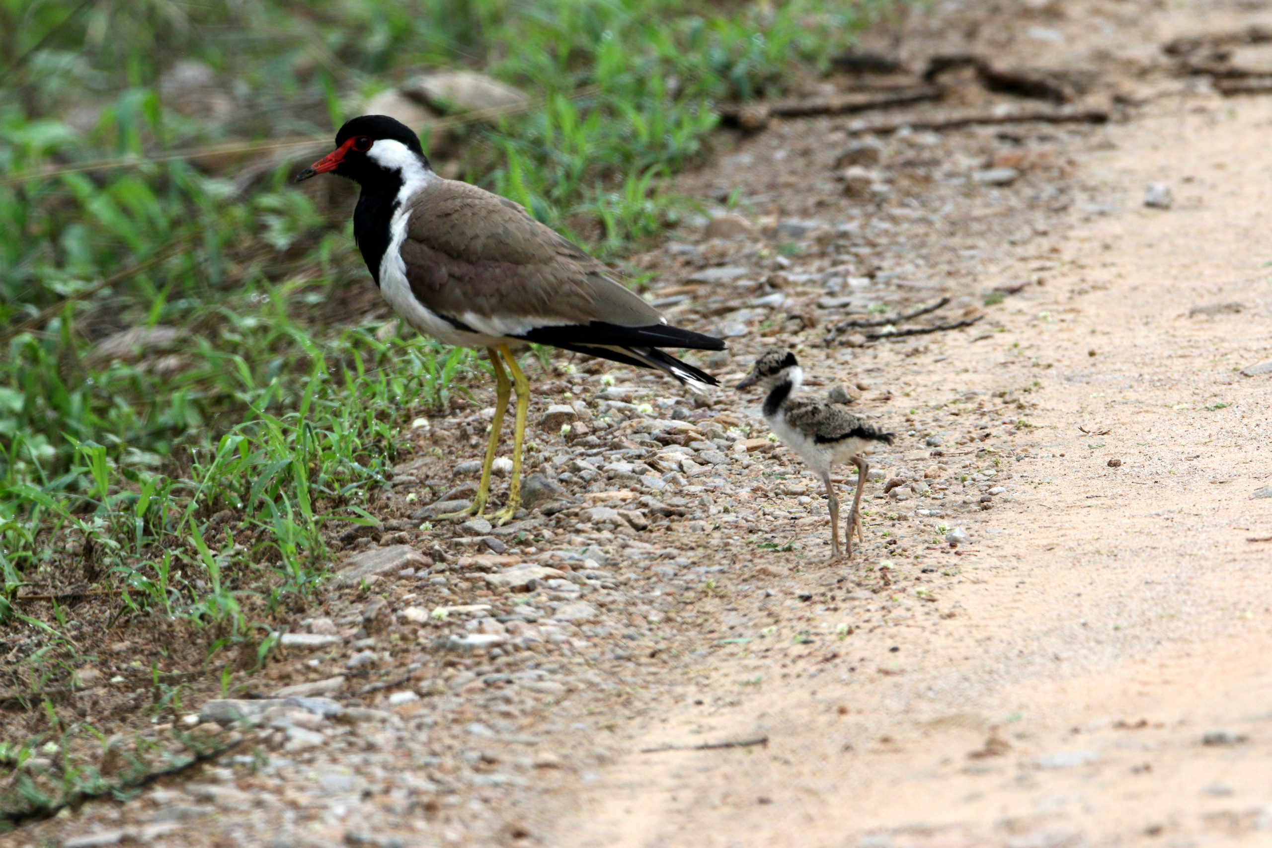 A Long Leg Bird with it's Chick