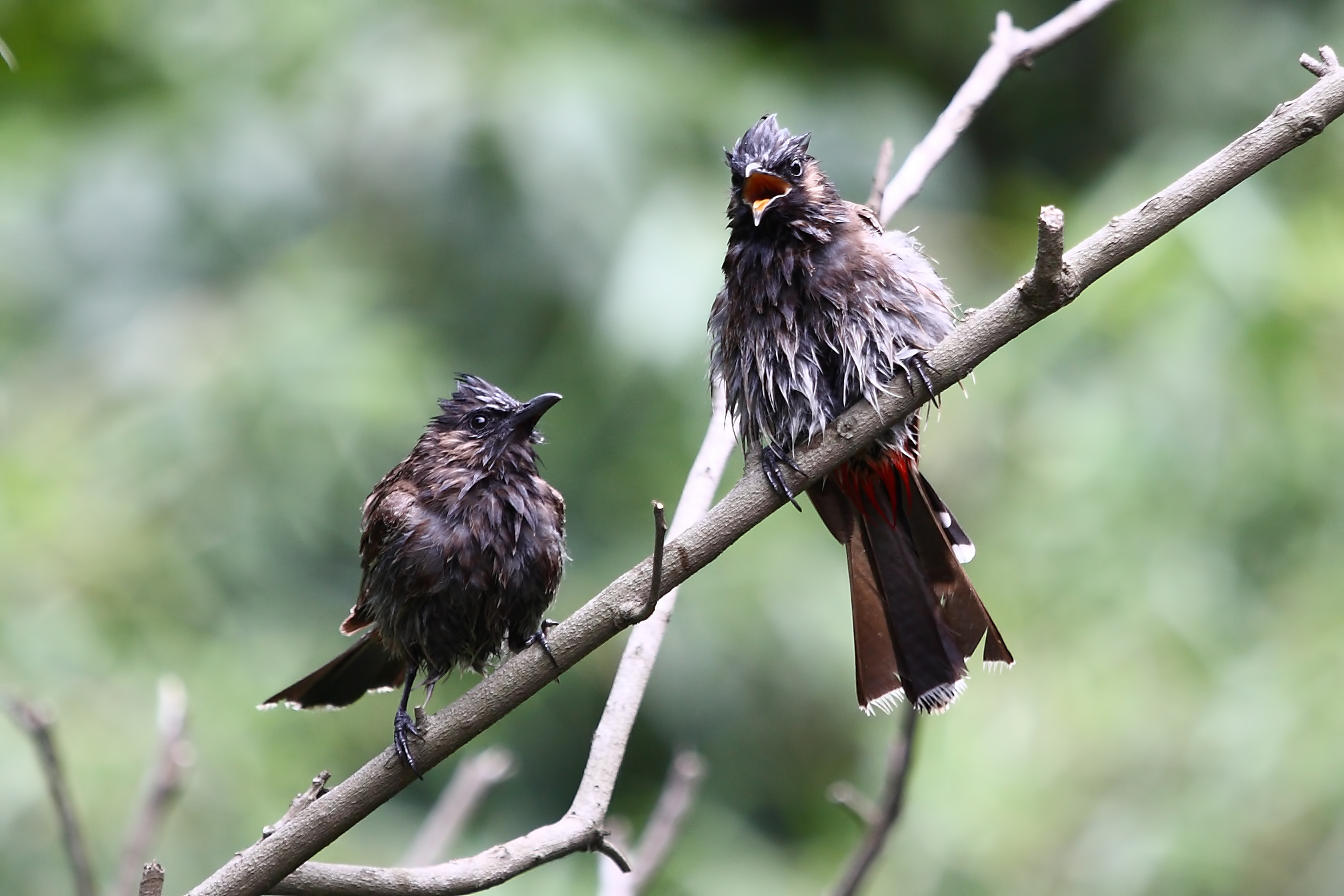 A Pair of Red vented Bulbul