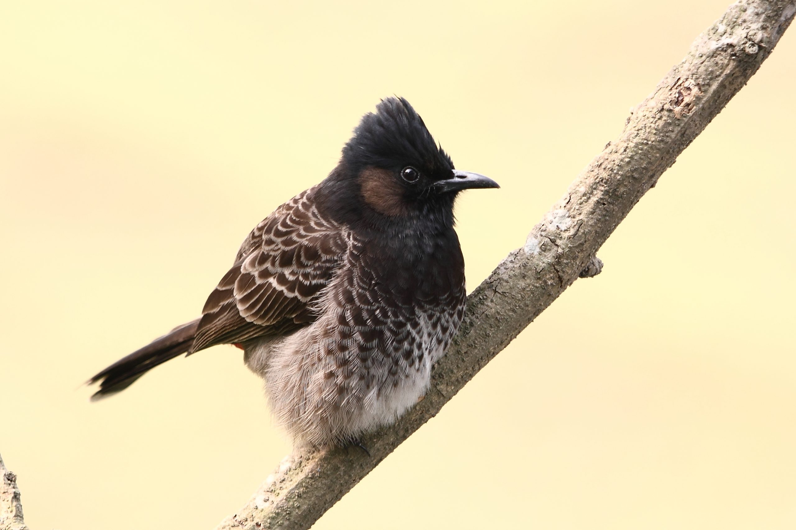 A Red-Vented Bulbul on a Plant