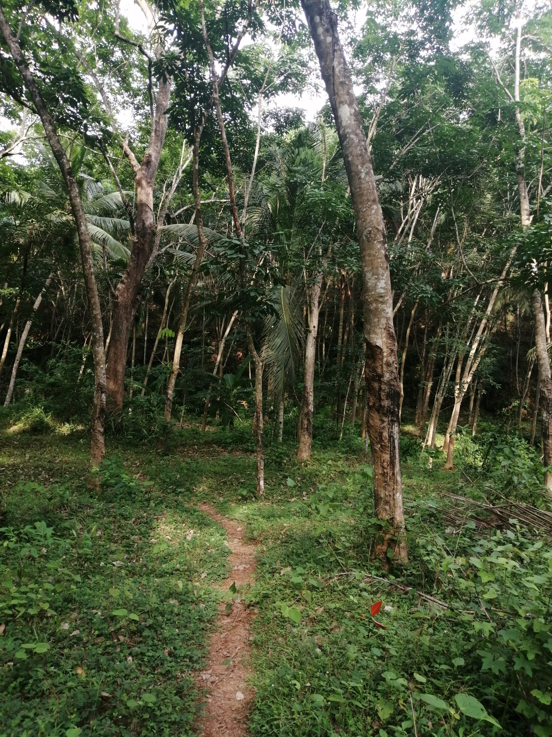 Rubber Plant Forest