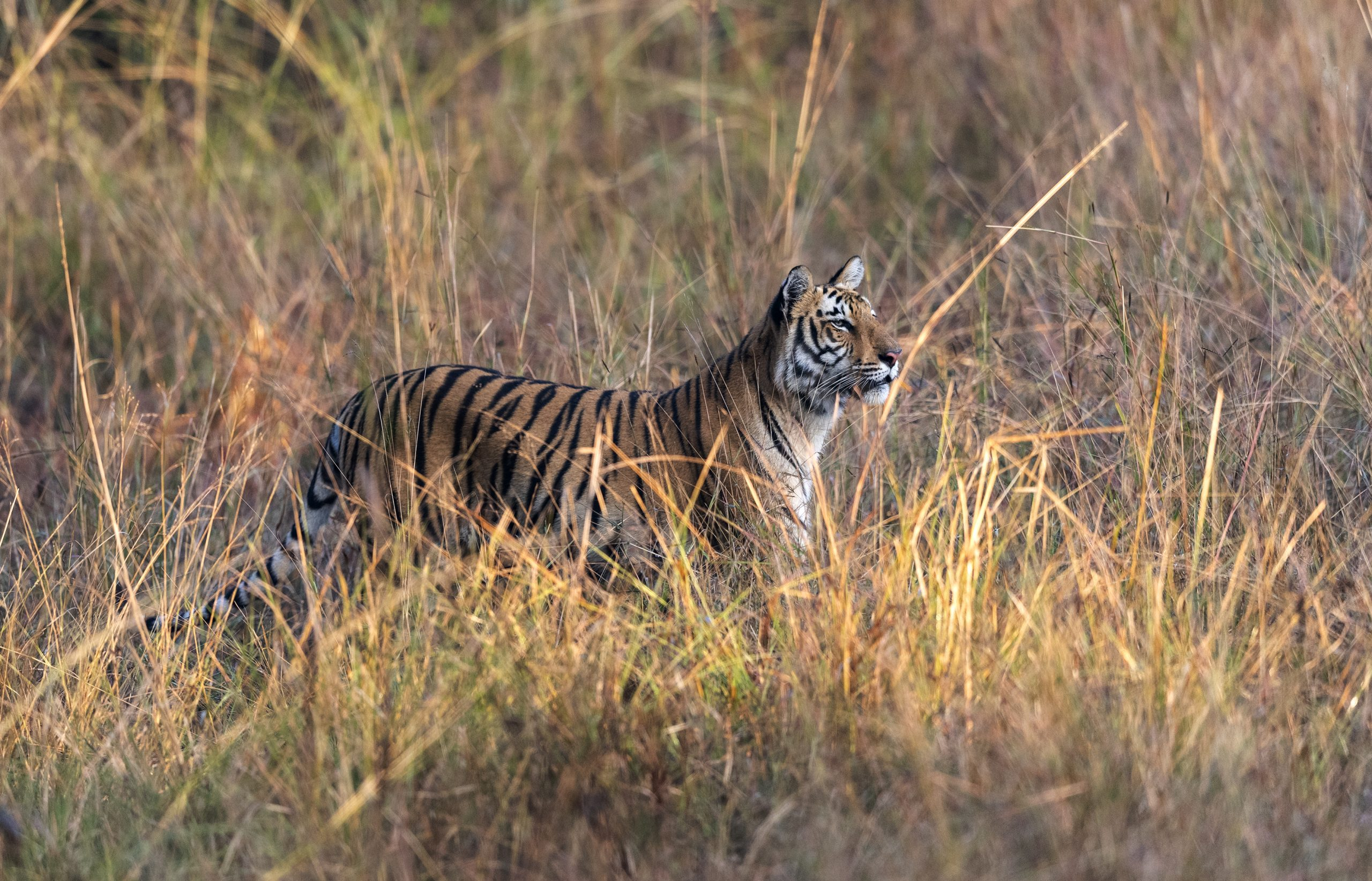 A Tiger in wildlife sanctuary