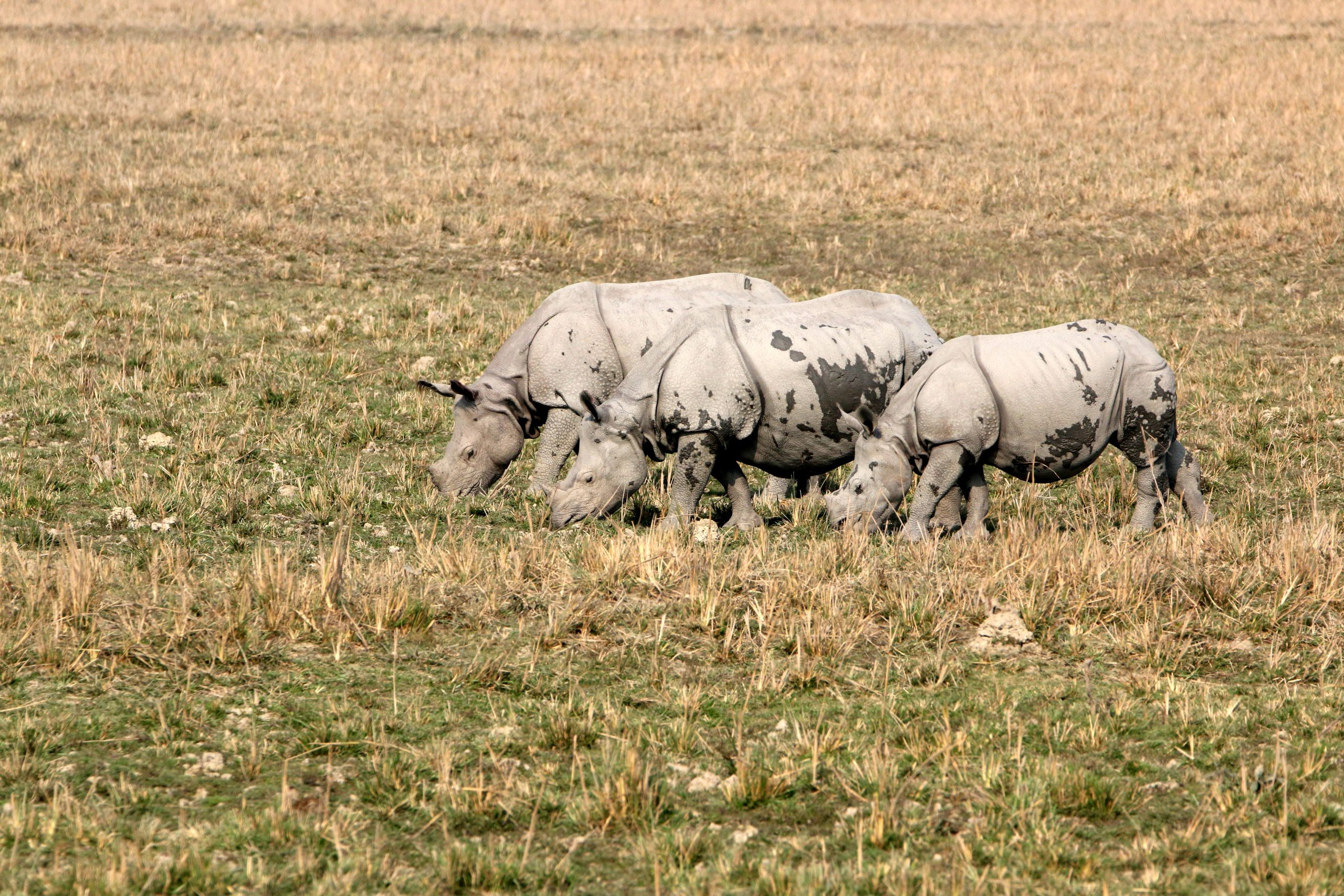 A White Rhinoceros Grazing on the Land