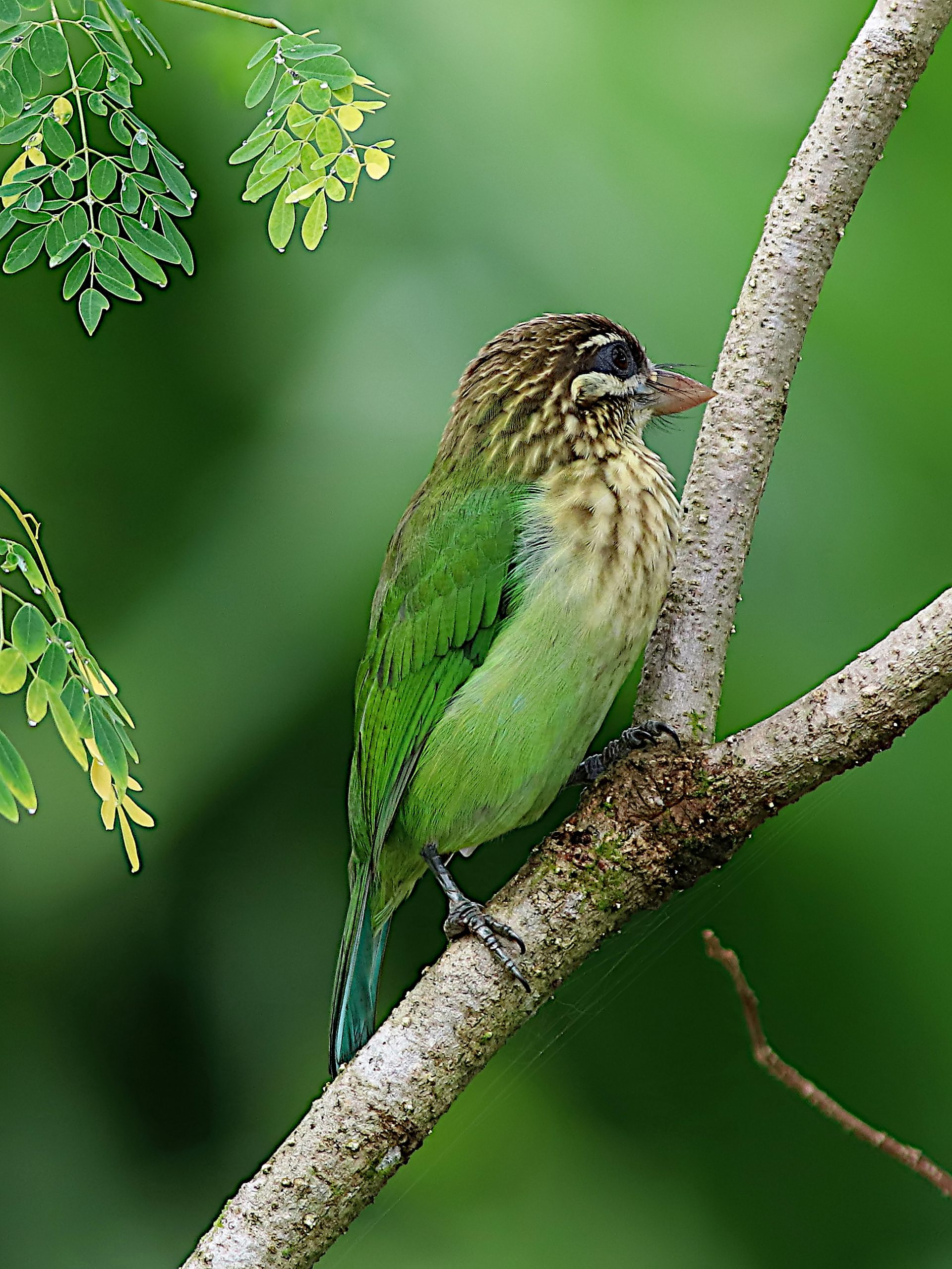 A barbet on a branch