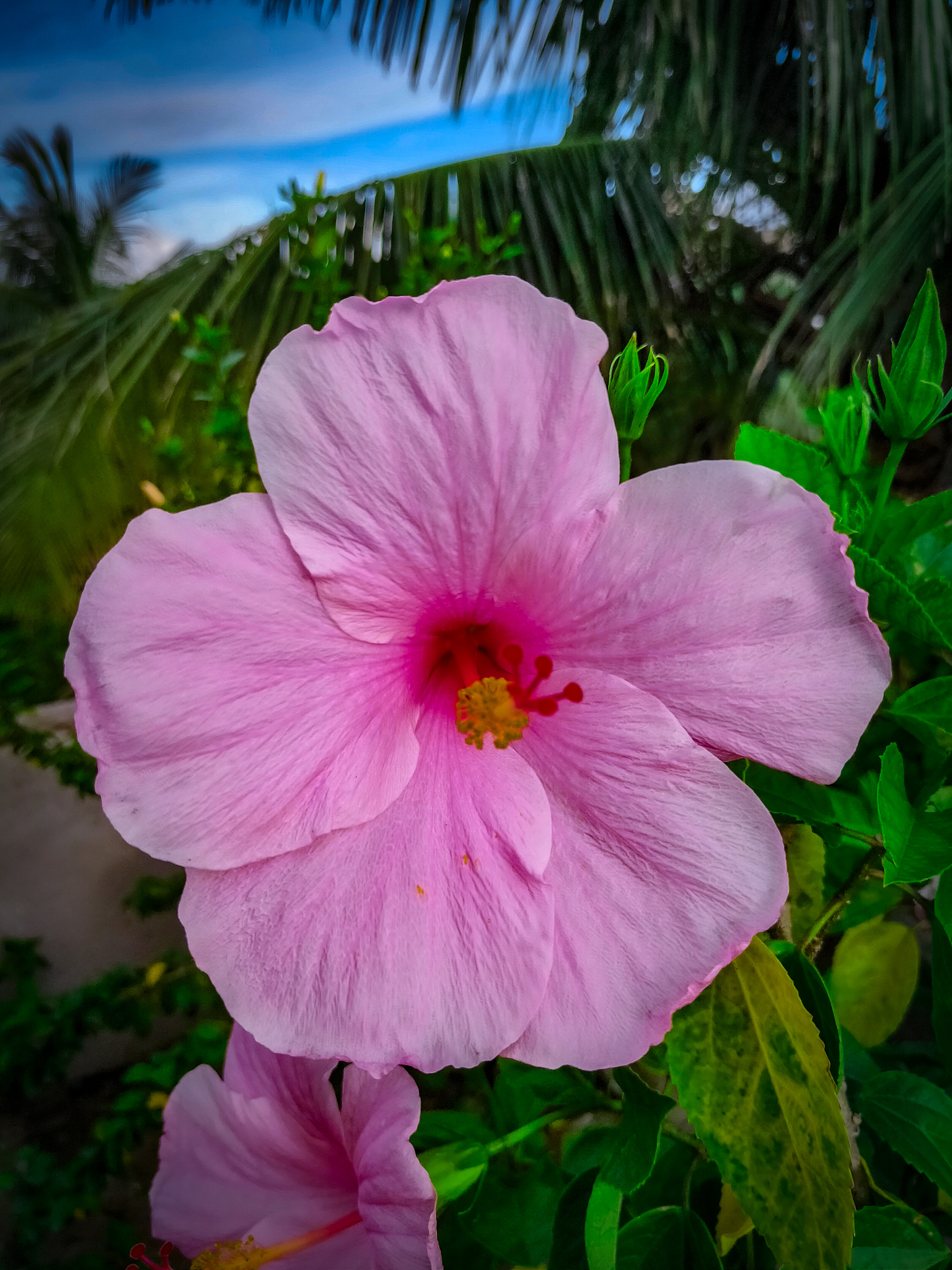 A beautiful pink hibiscus flower
