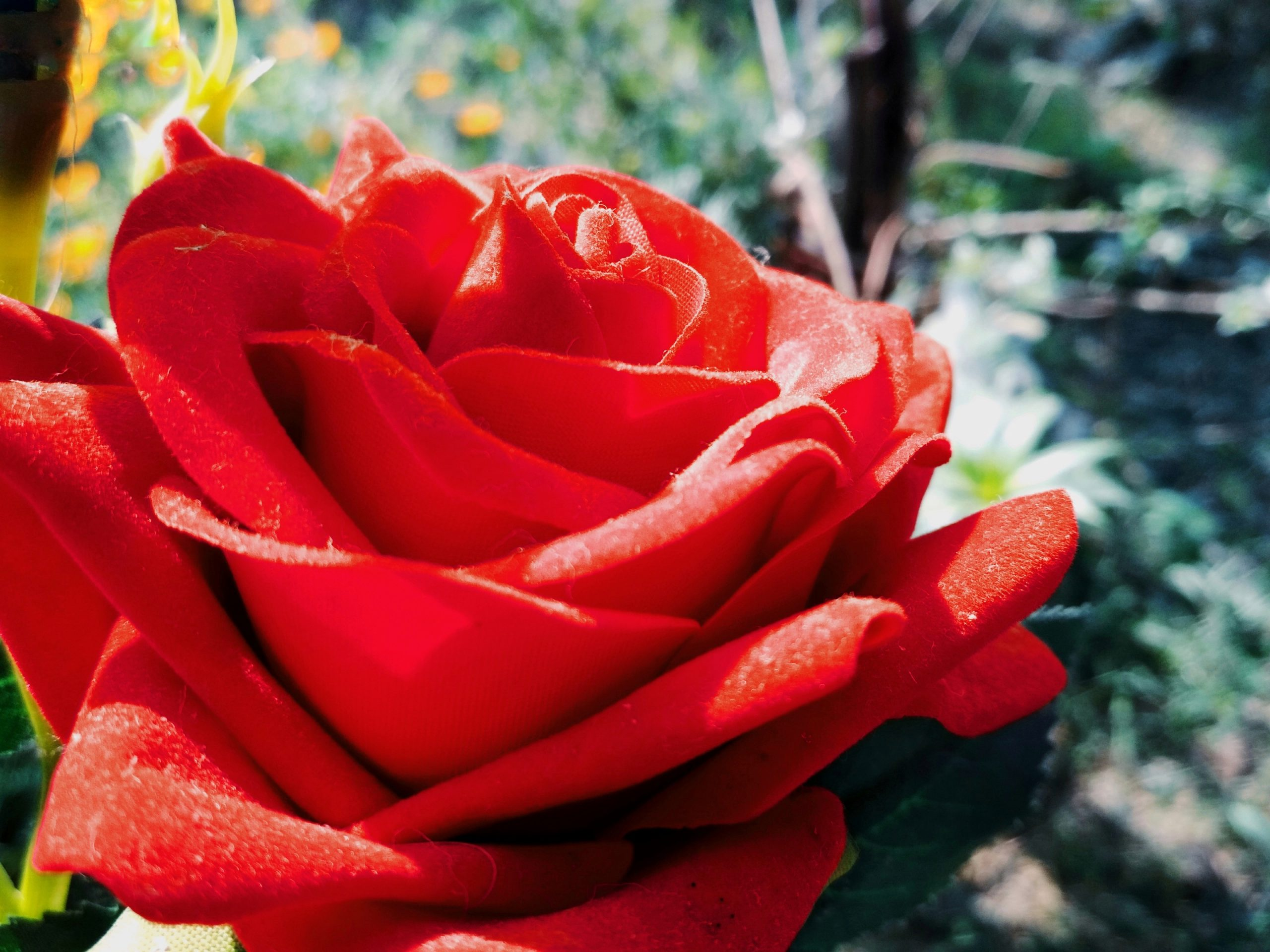 A red rose in the garden