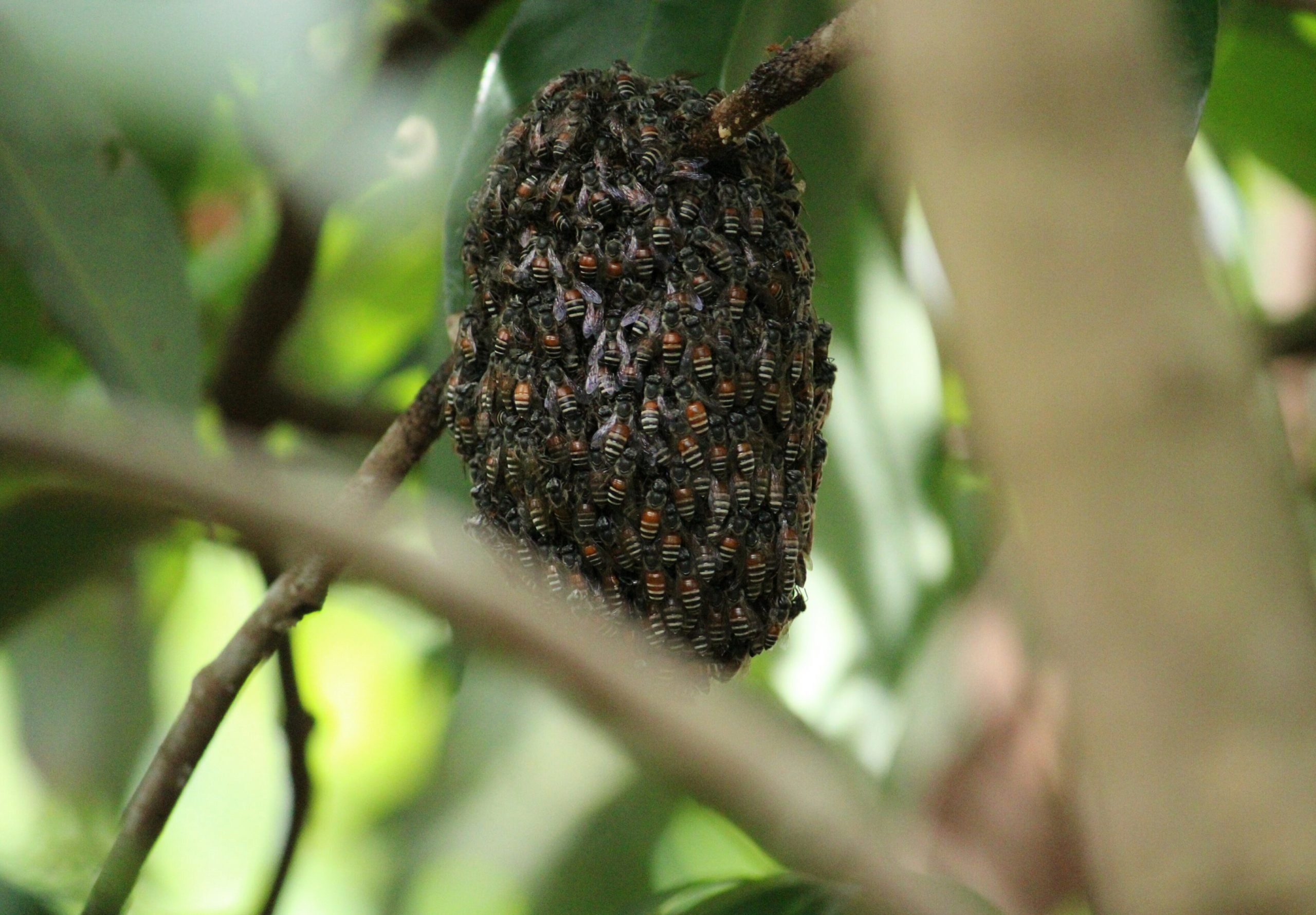 A beehive on a tree.