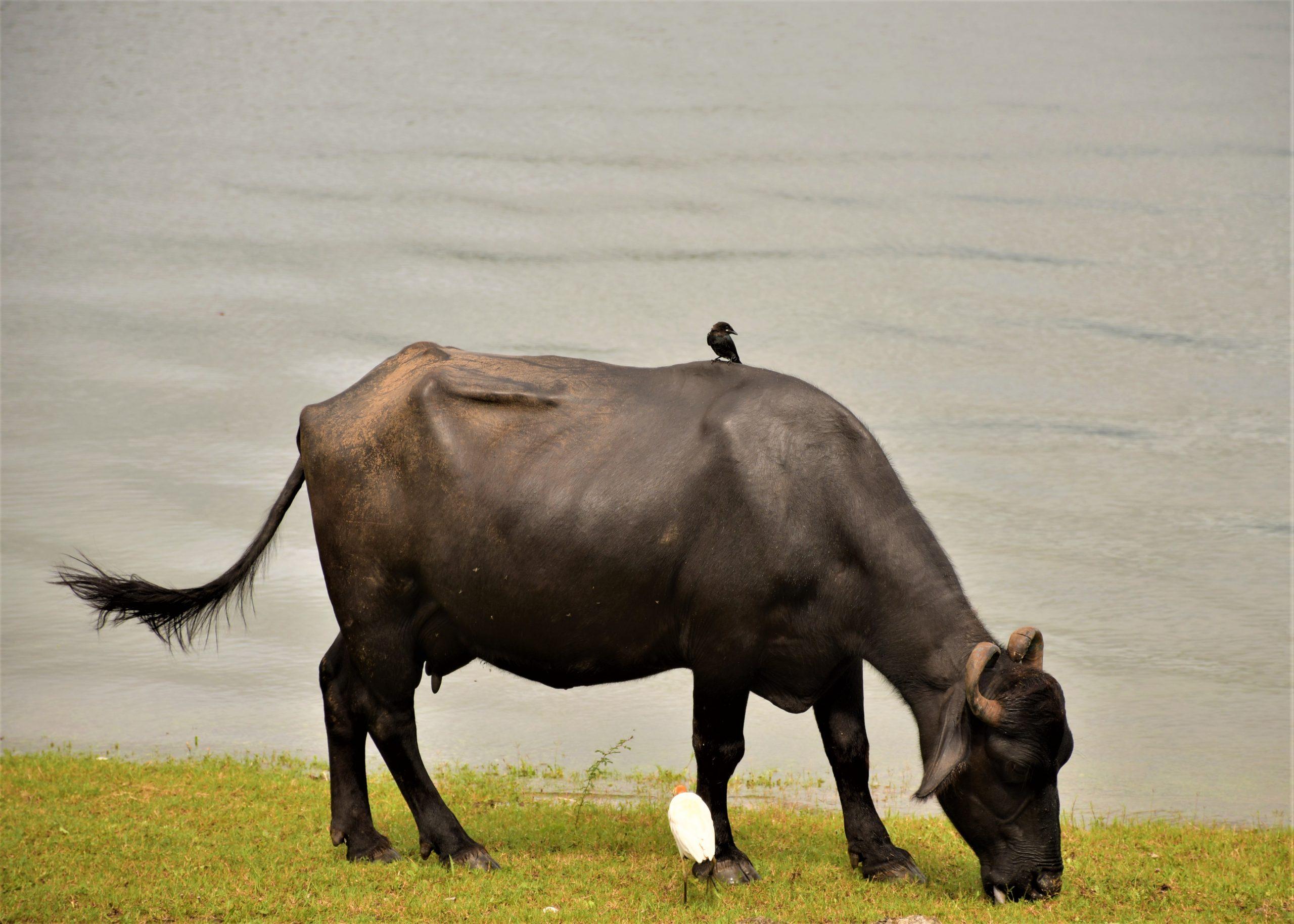 A bird on a buffalo