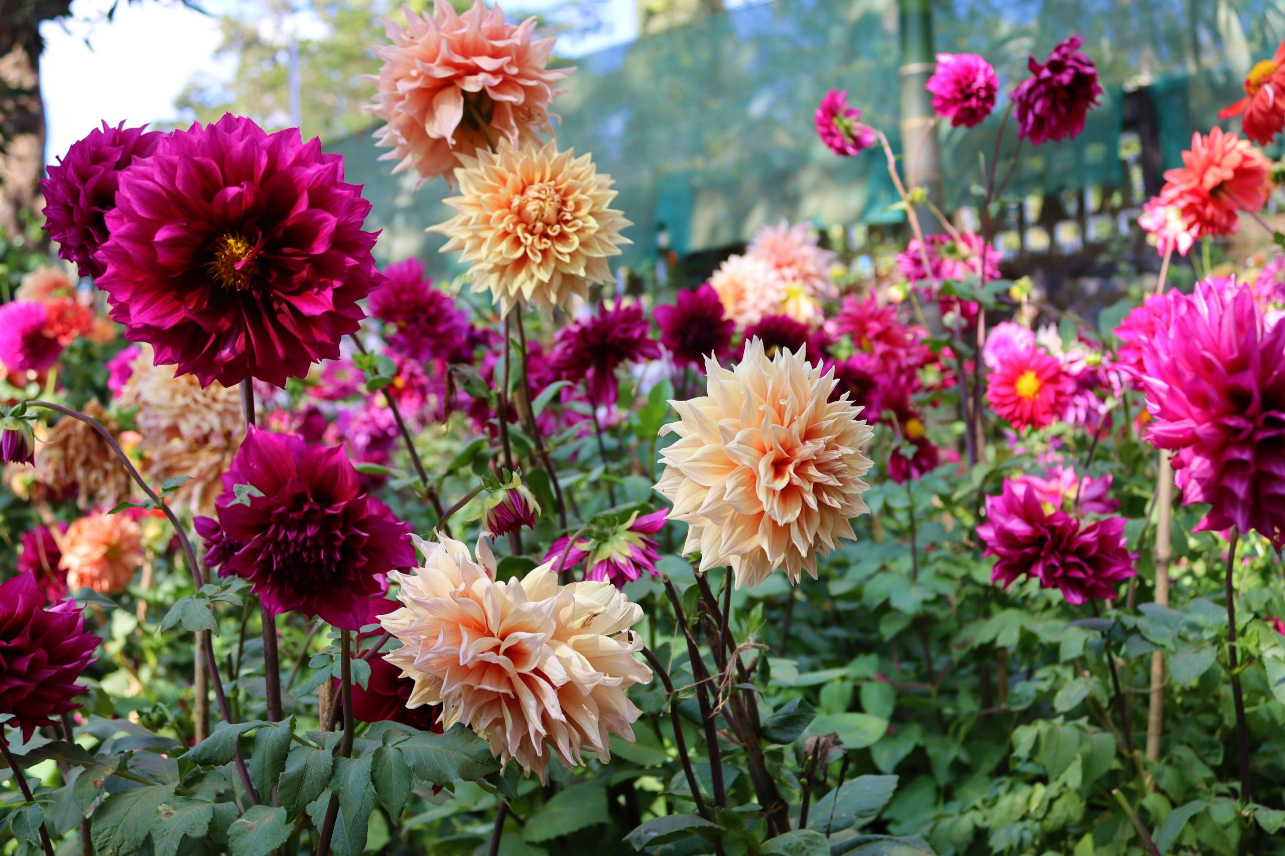 A bunch of Dahlia flowers in the garden
