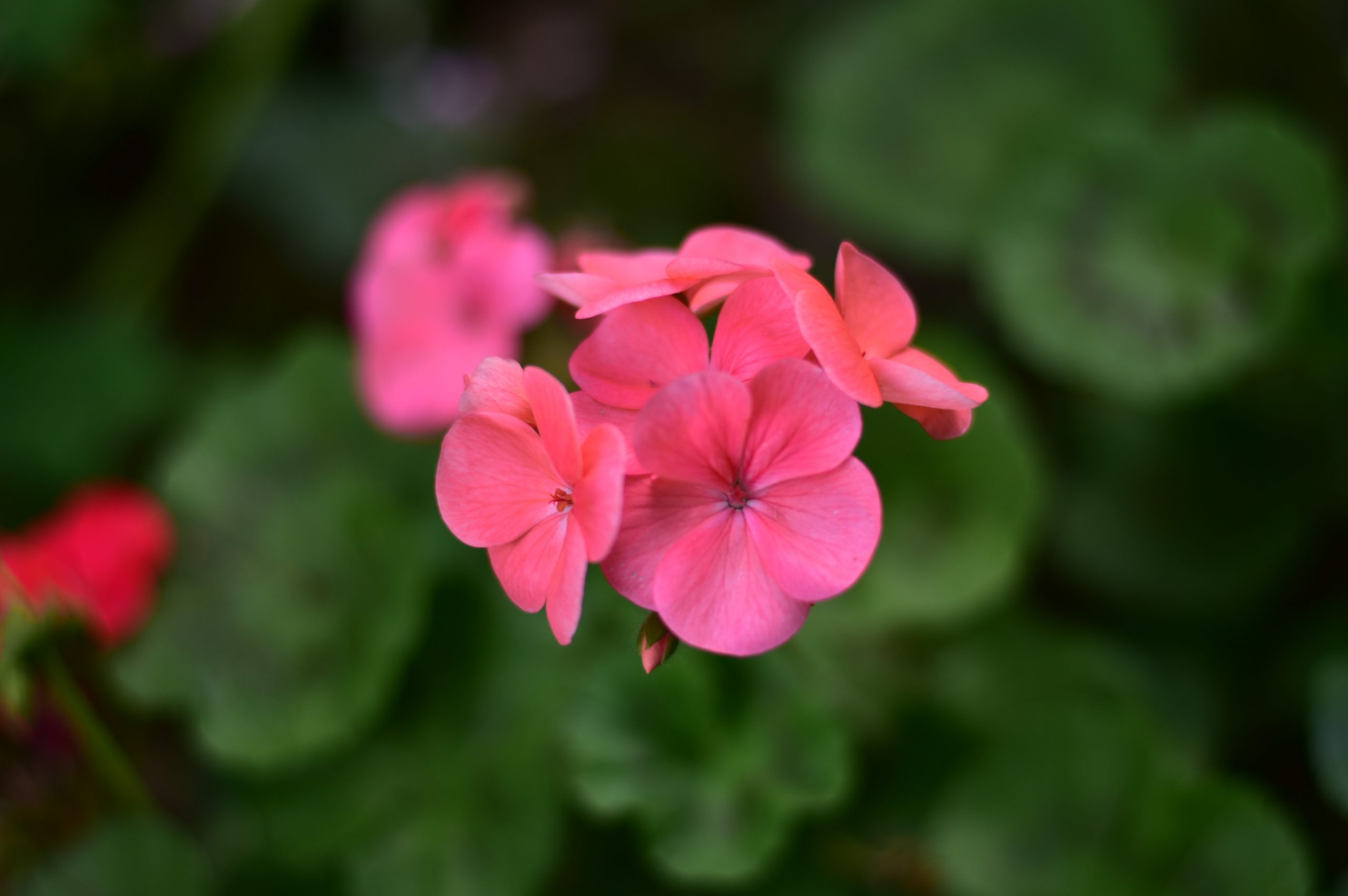 A bunch of pink flowers