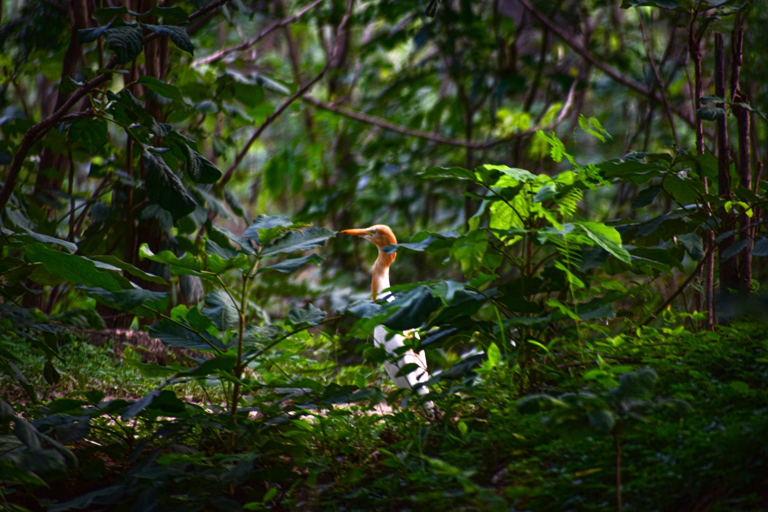A crane bird in jungle