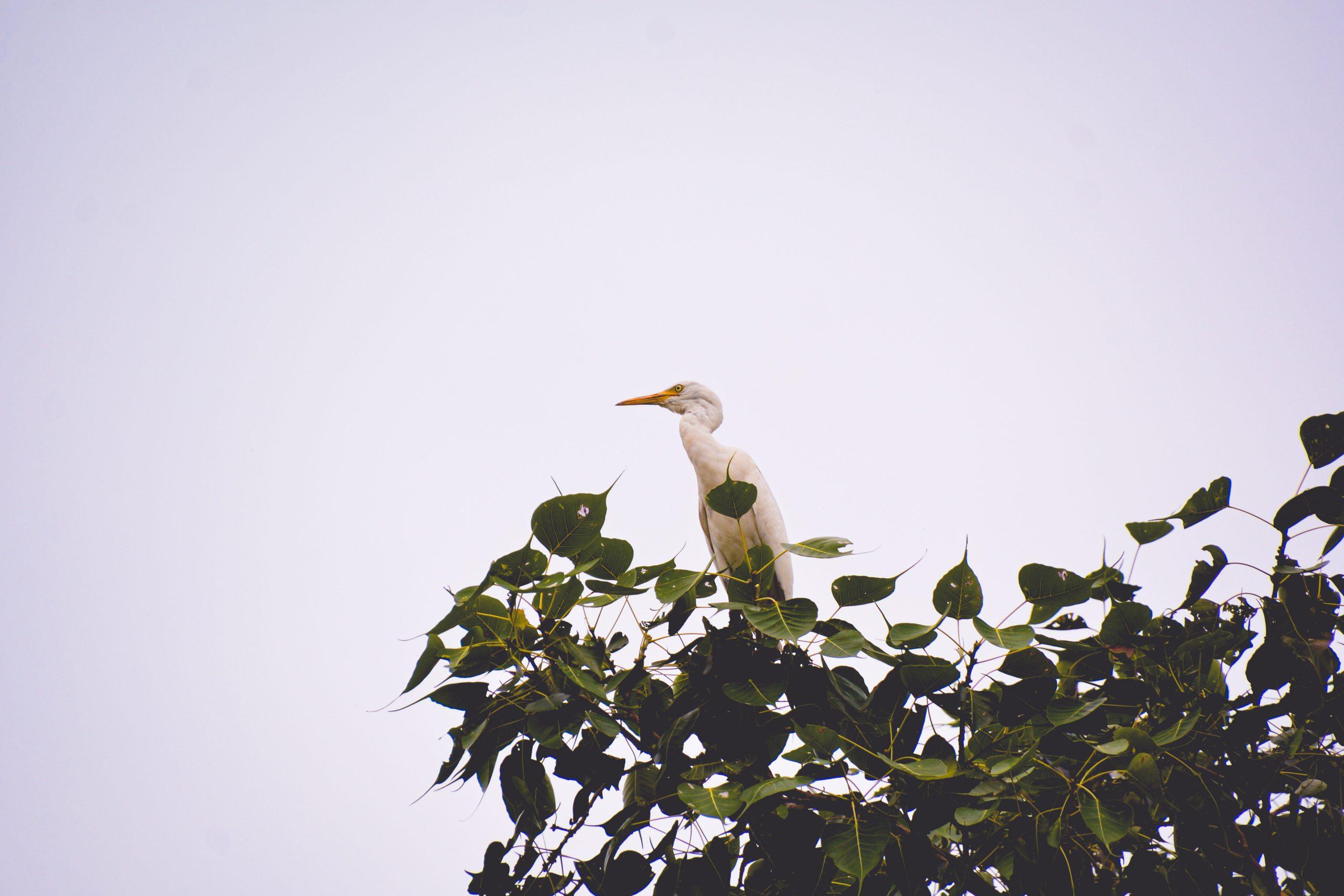 A crane bird on a tree top