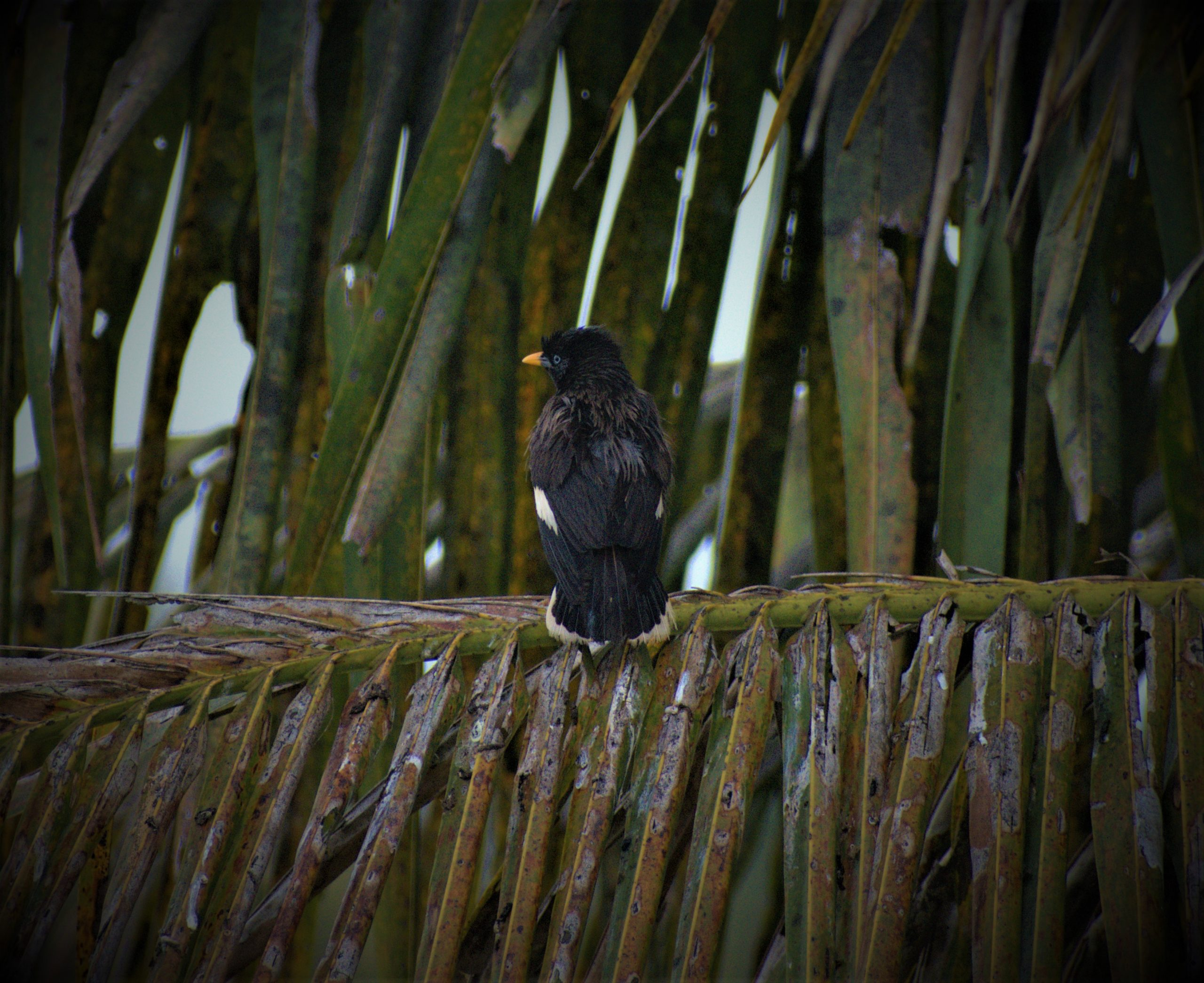 A crested myna on a branch