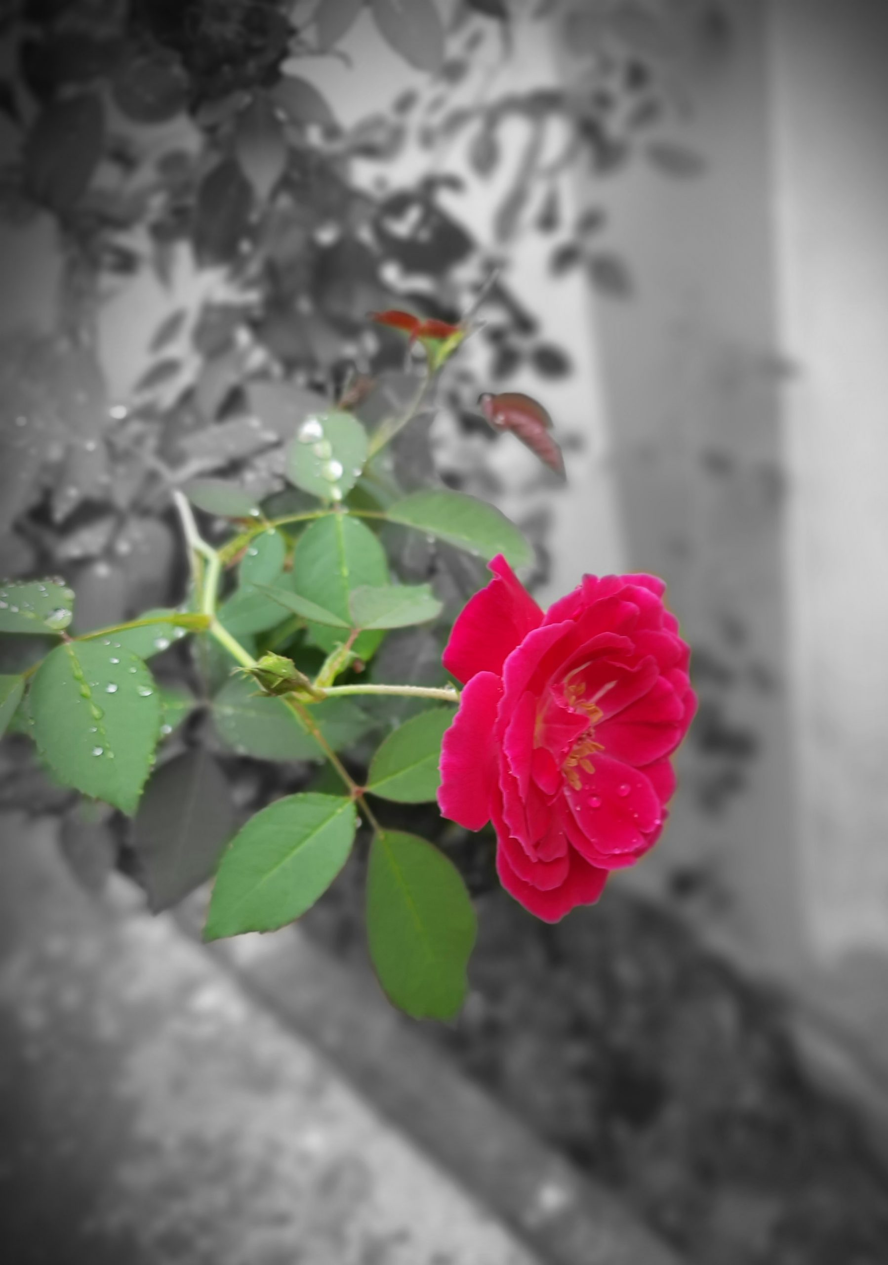 A fresh red rose