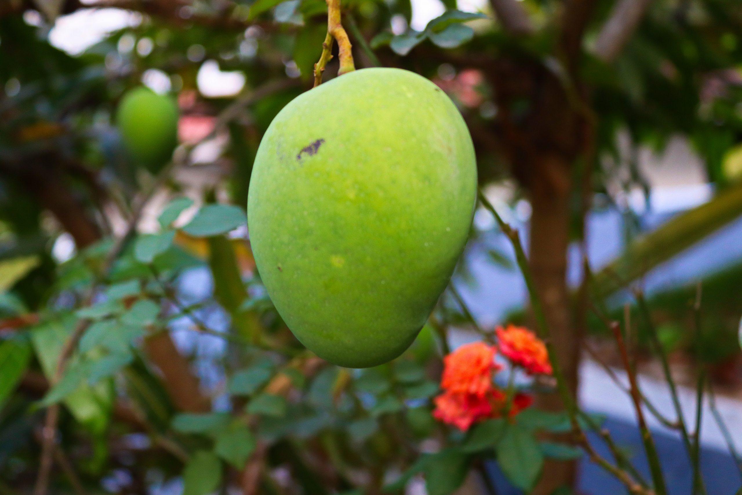 A hanging mango