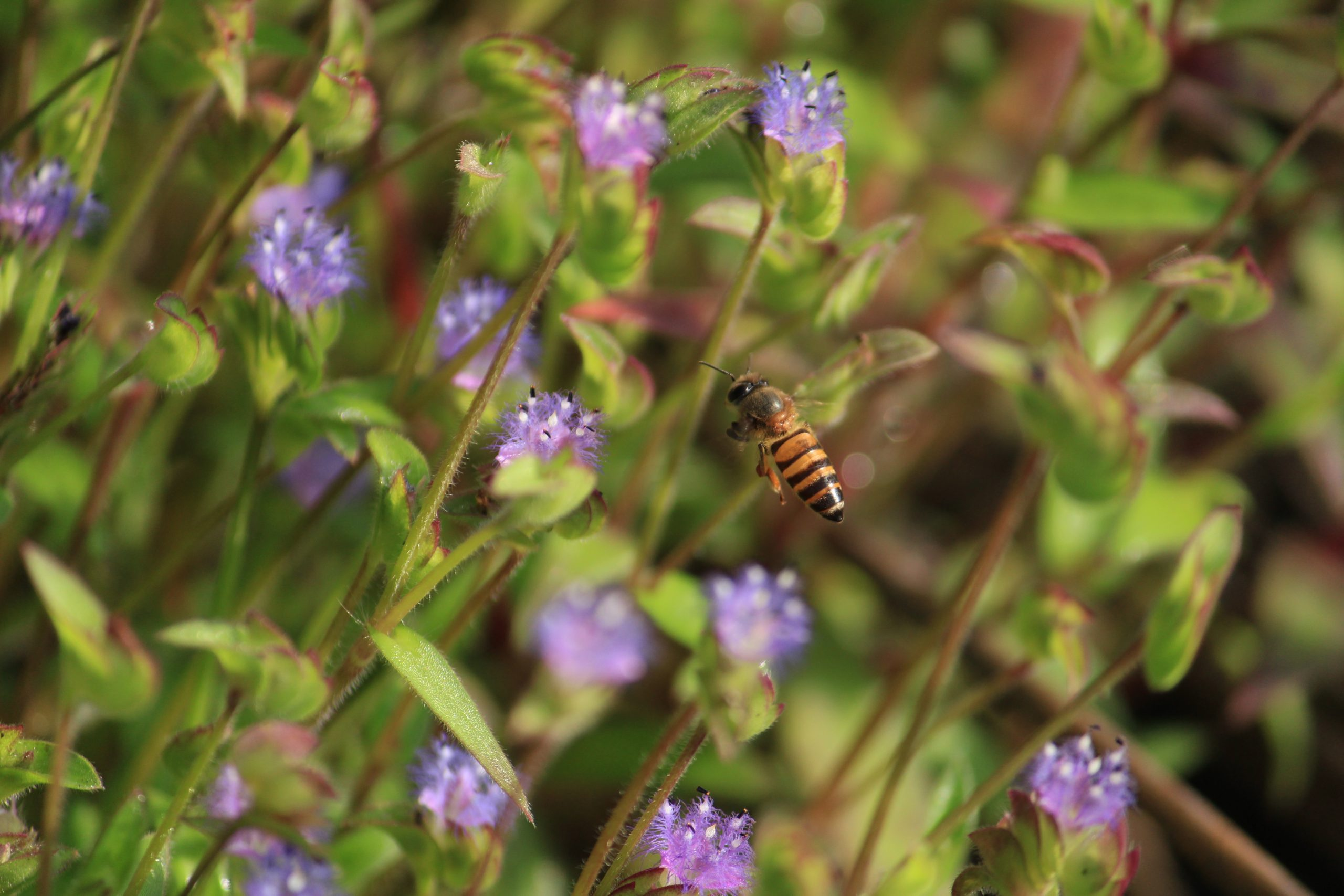 A honeybee hovering around flowers