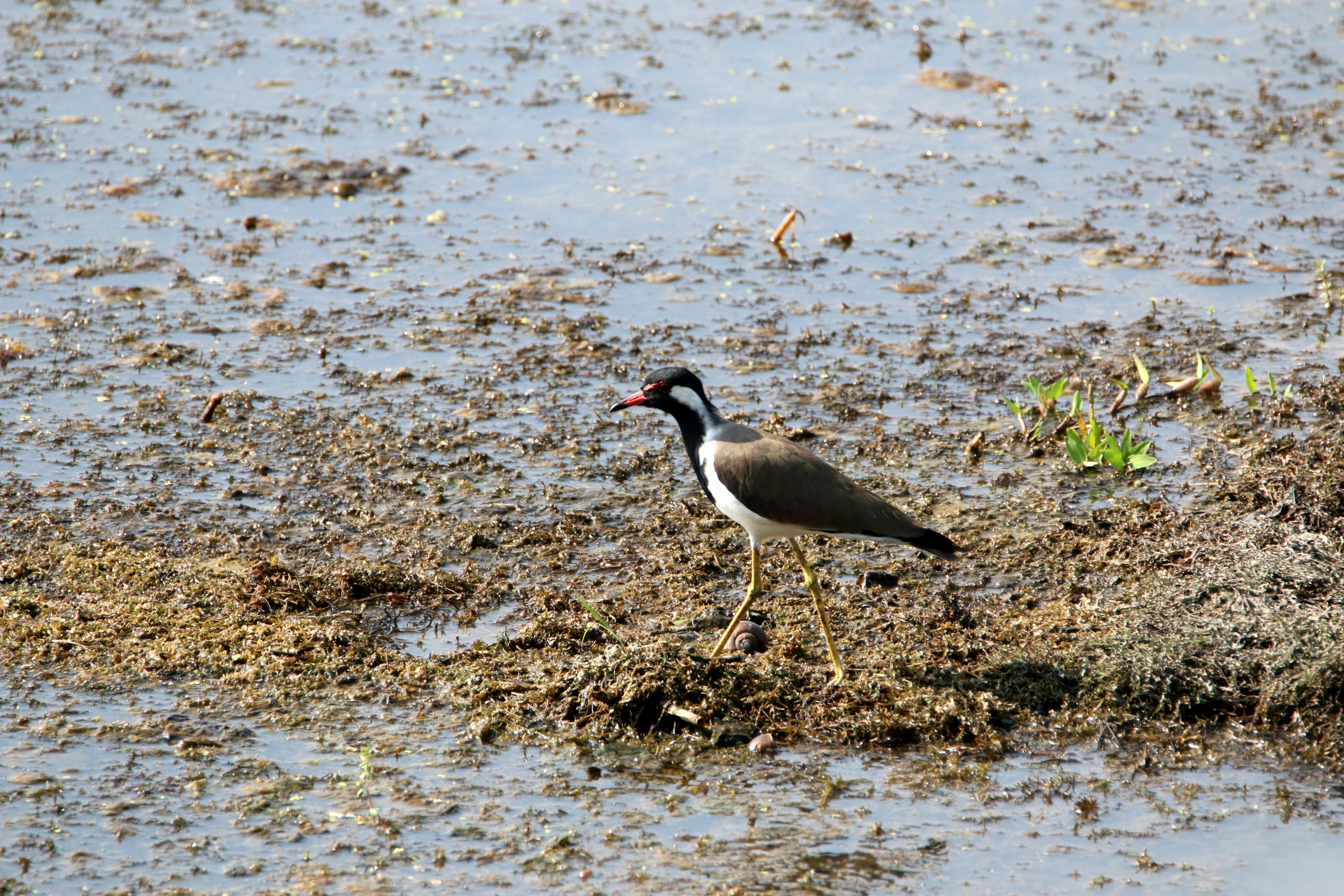 A lapwing in a pond