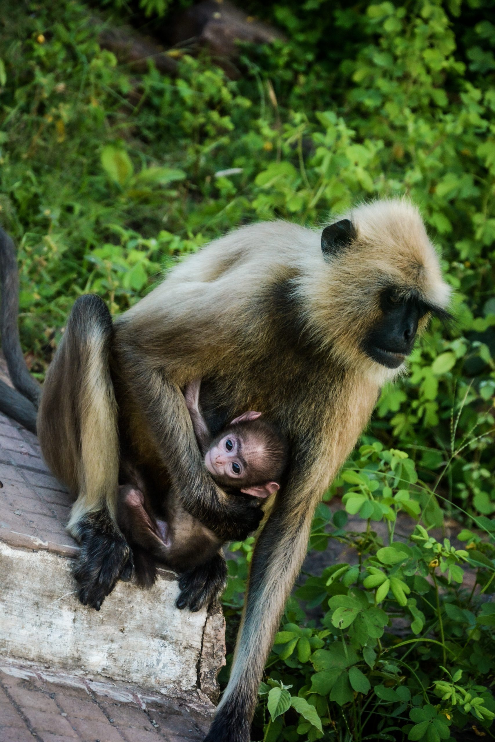 Monkey and her Offspring