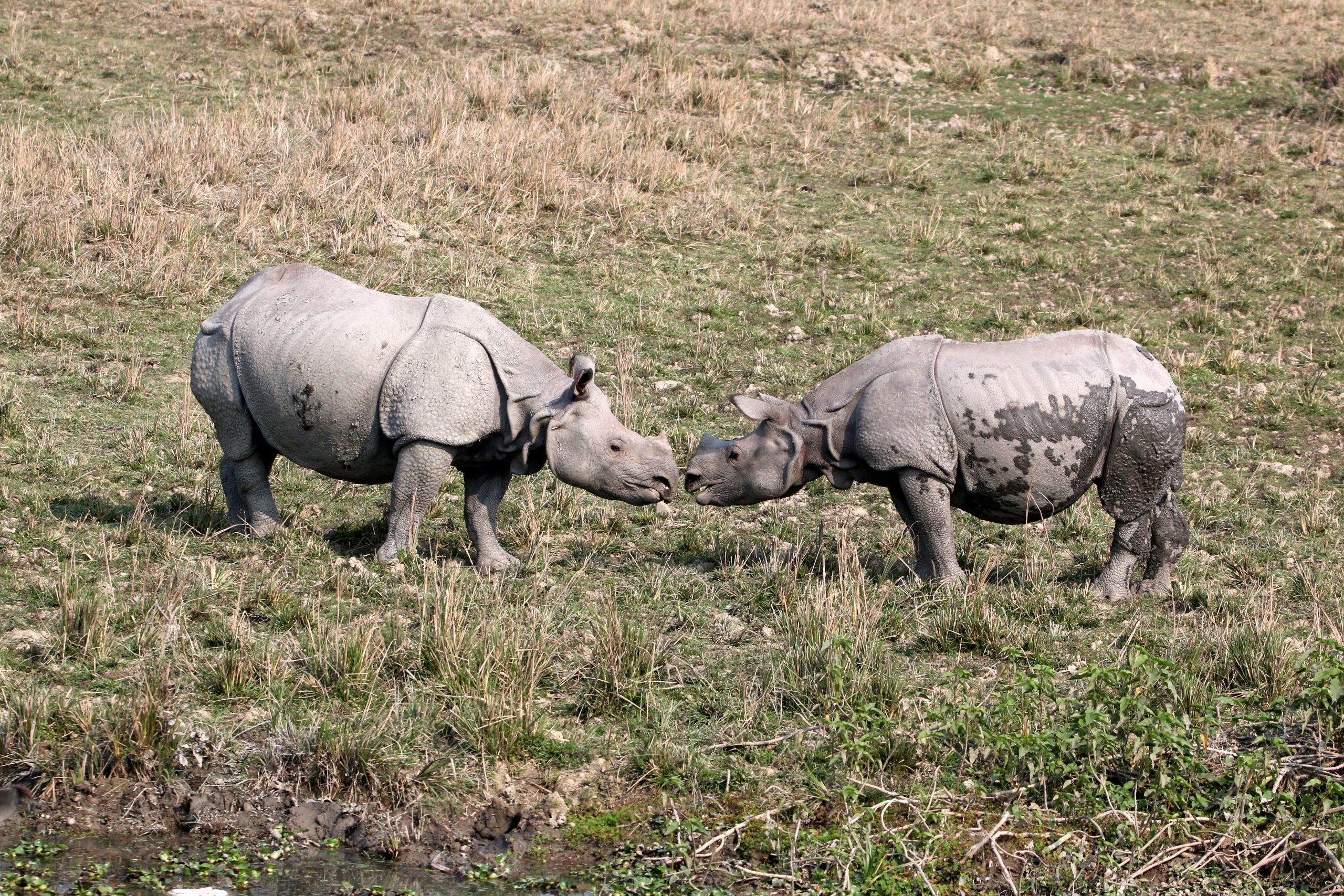 A pair of Rhinos