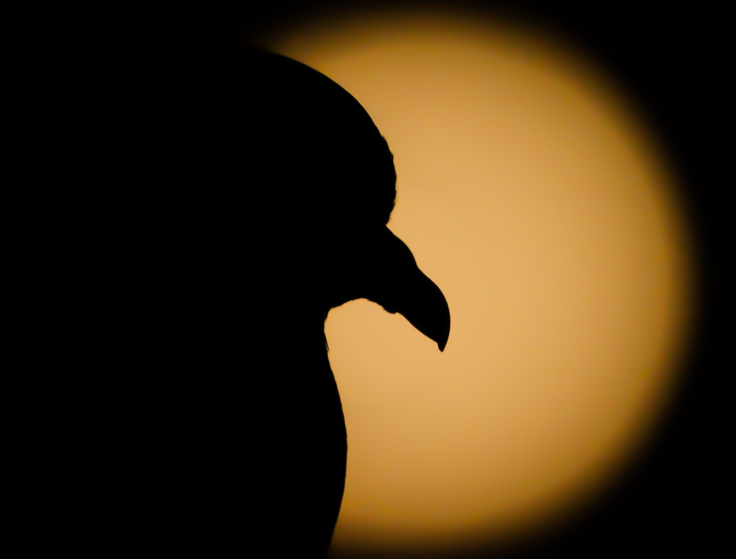 A pigeon and Moon