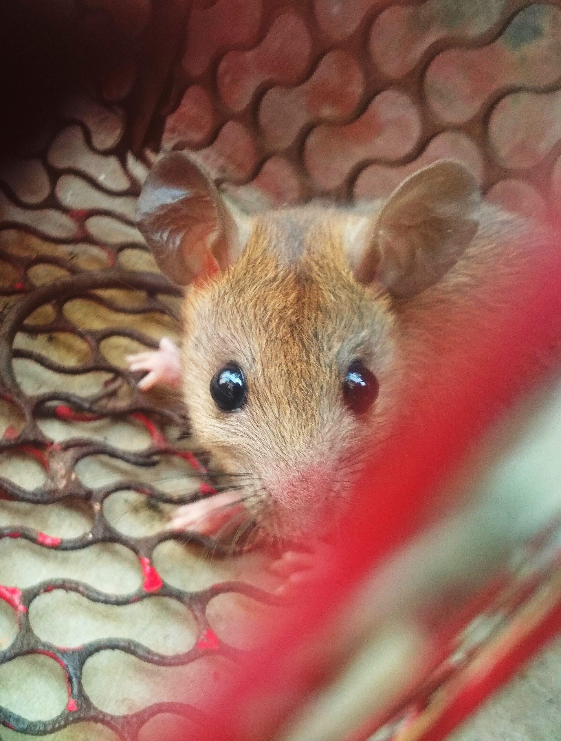 A rat in mousetrap