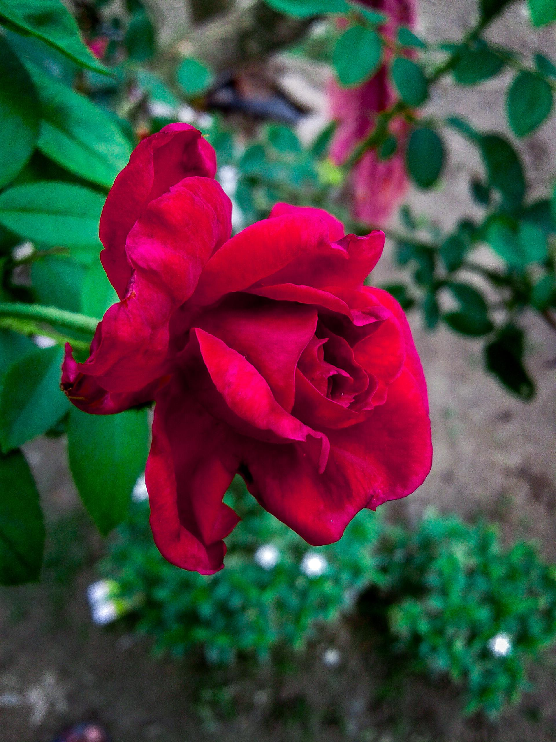 A red rose in the garden.