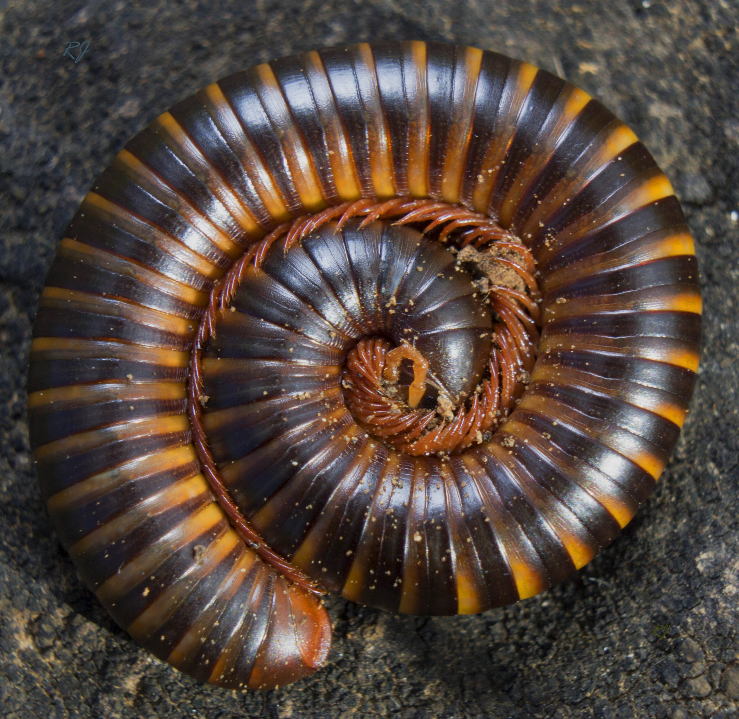 A roll of a millipede