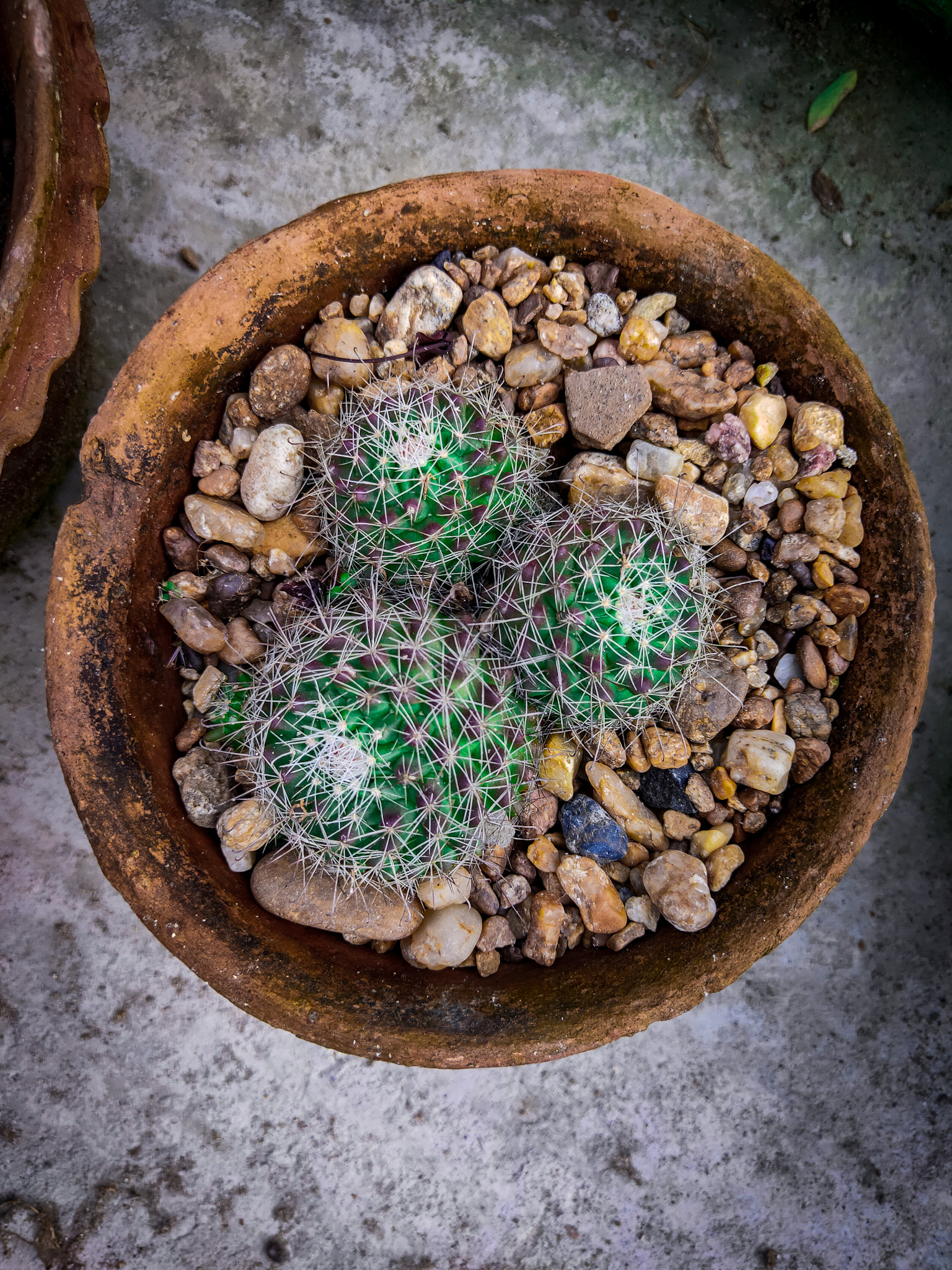 A small Cactus plants in pot
