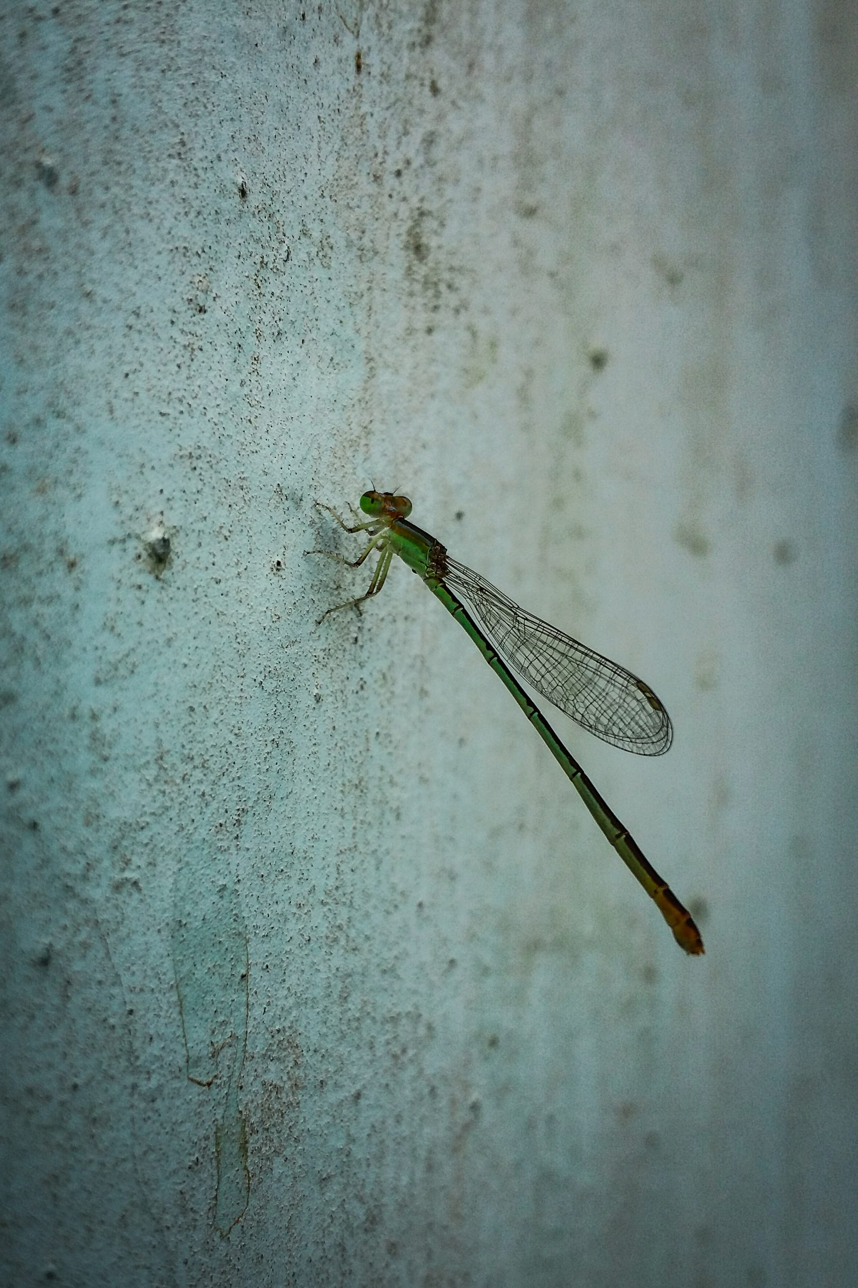 Damselfly in the Wall on Focus