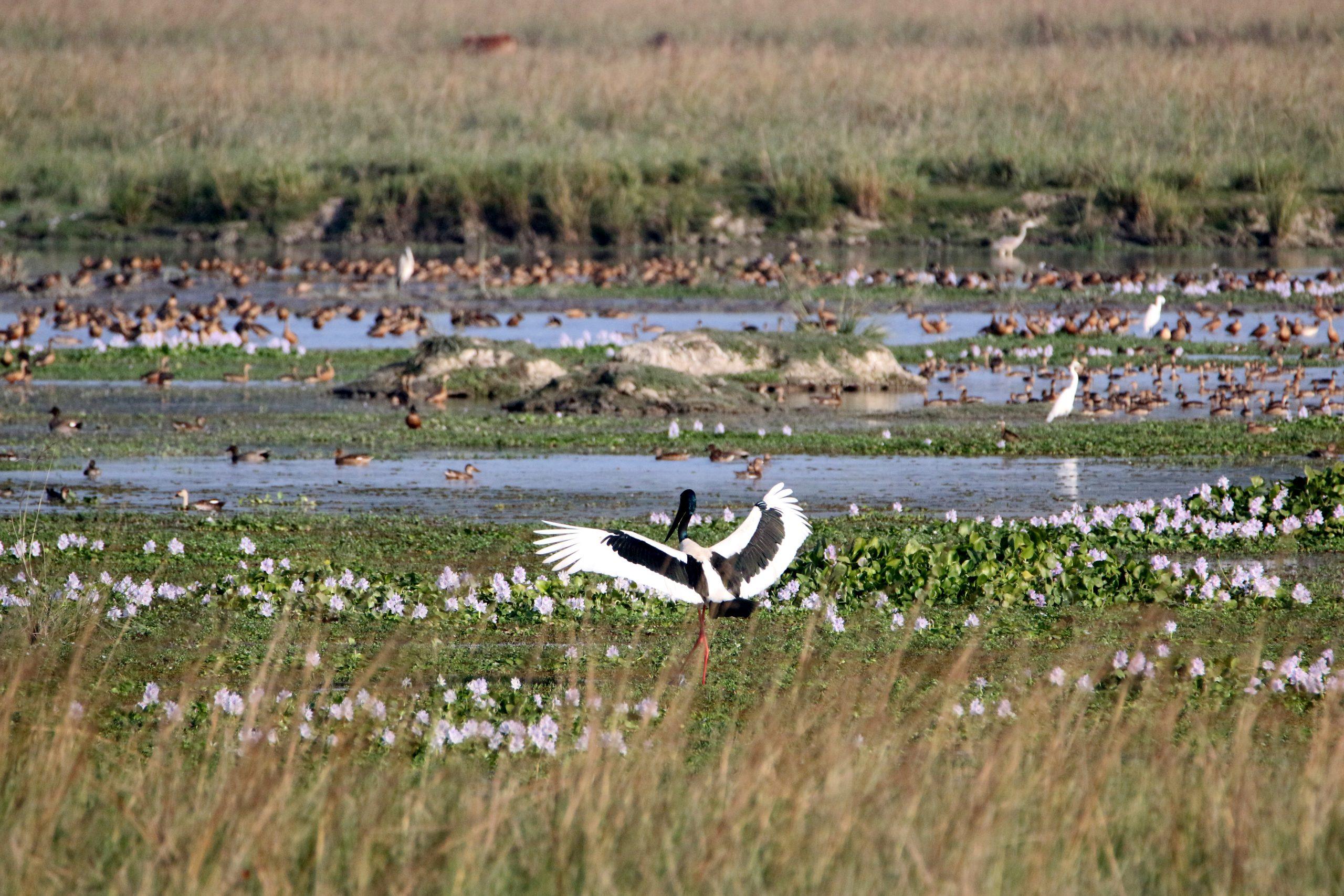A stork landing near a pond