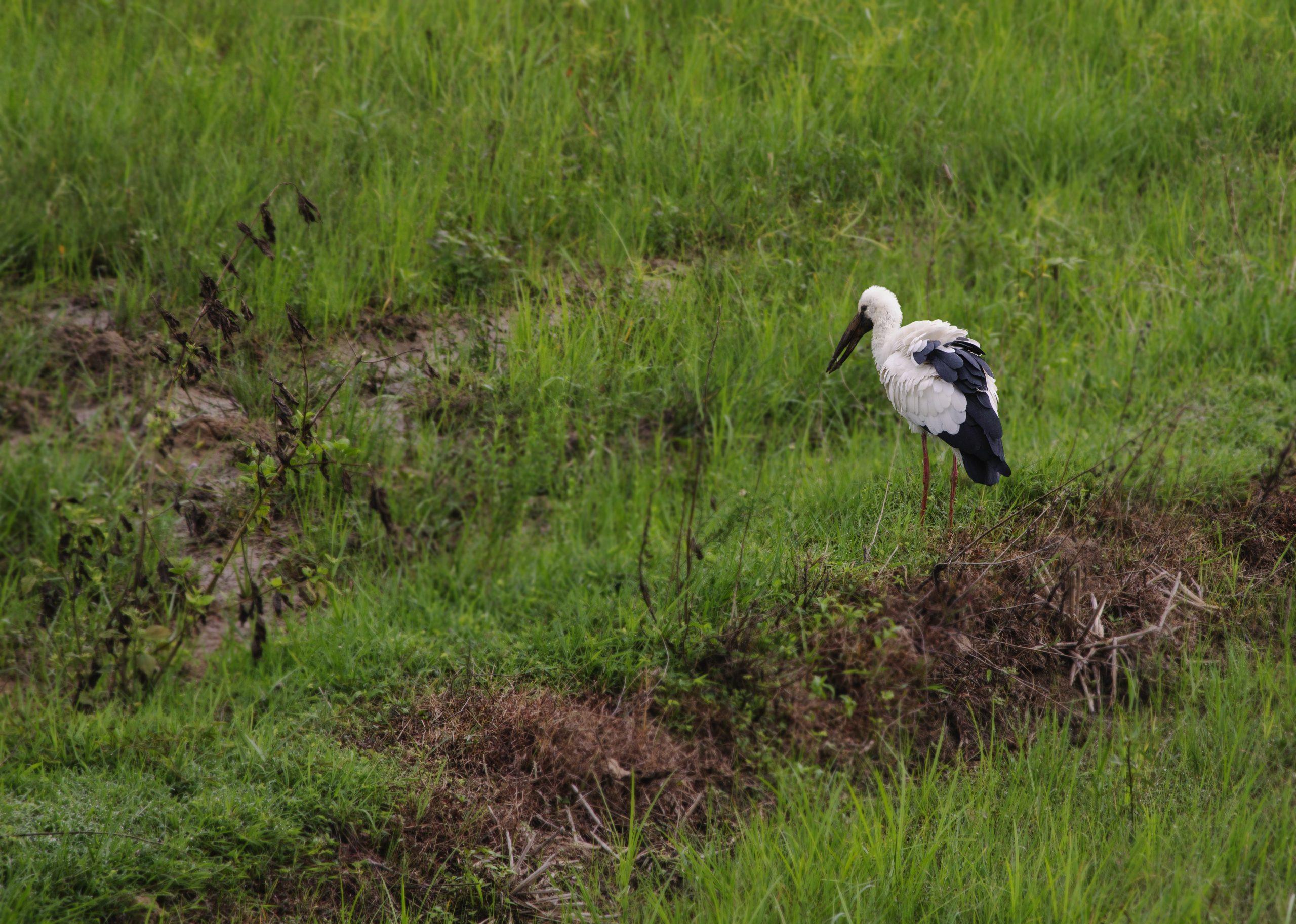 A stork on a field