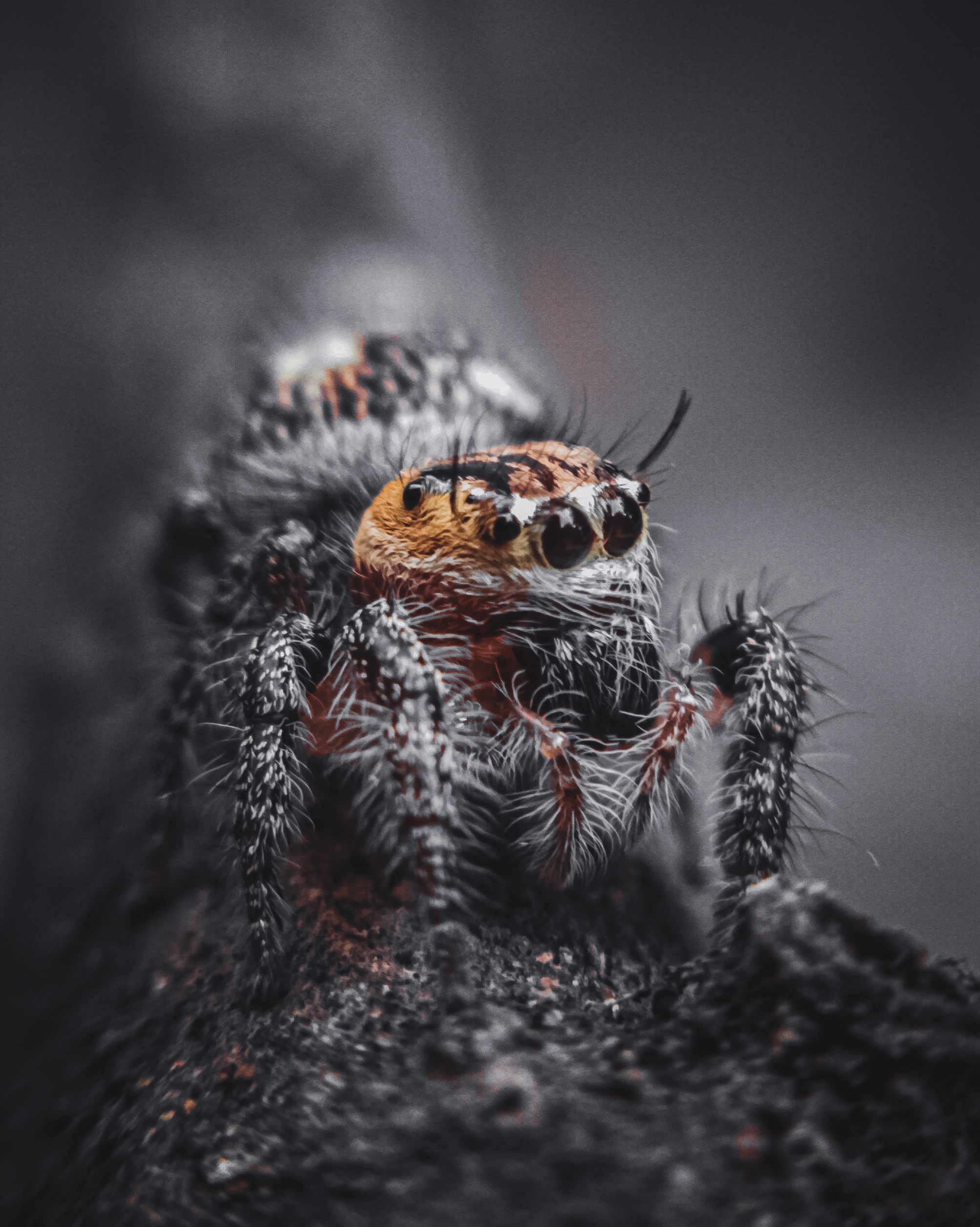 A toxic wolf spider