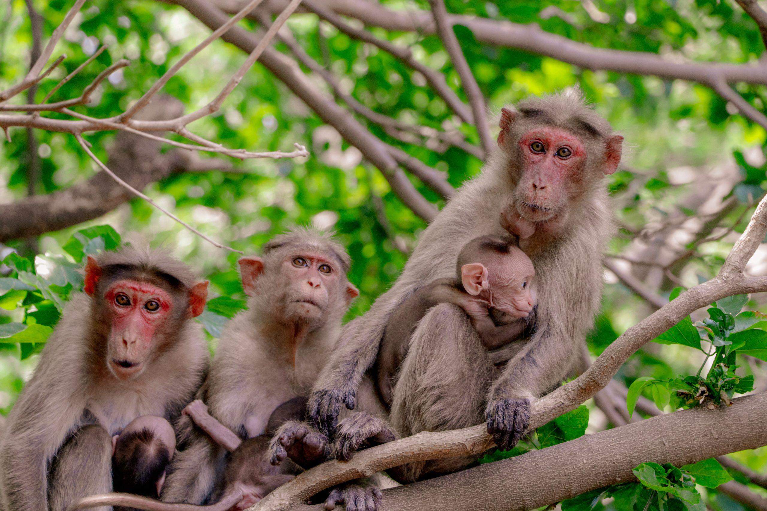 A troop of monkeys on a tree