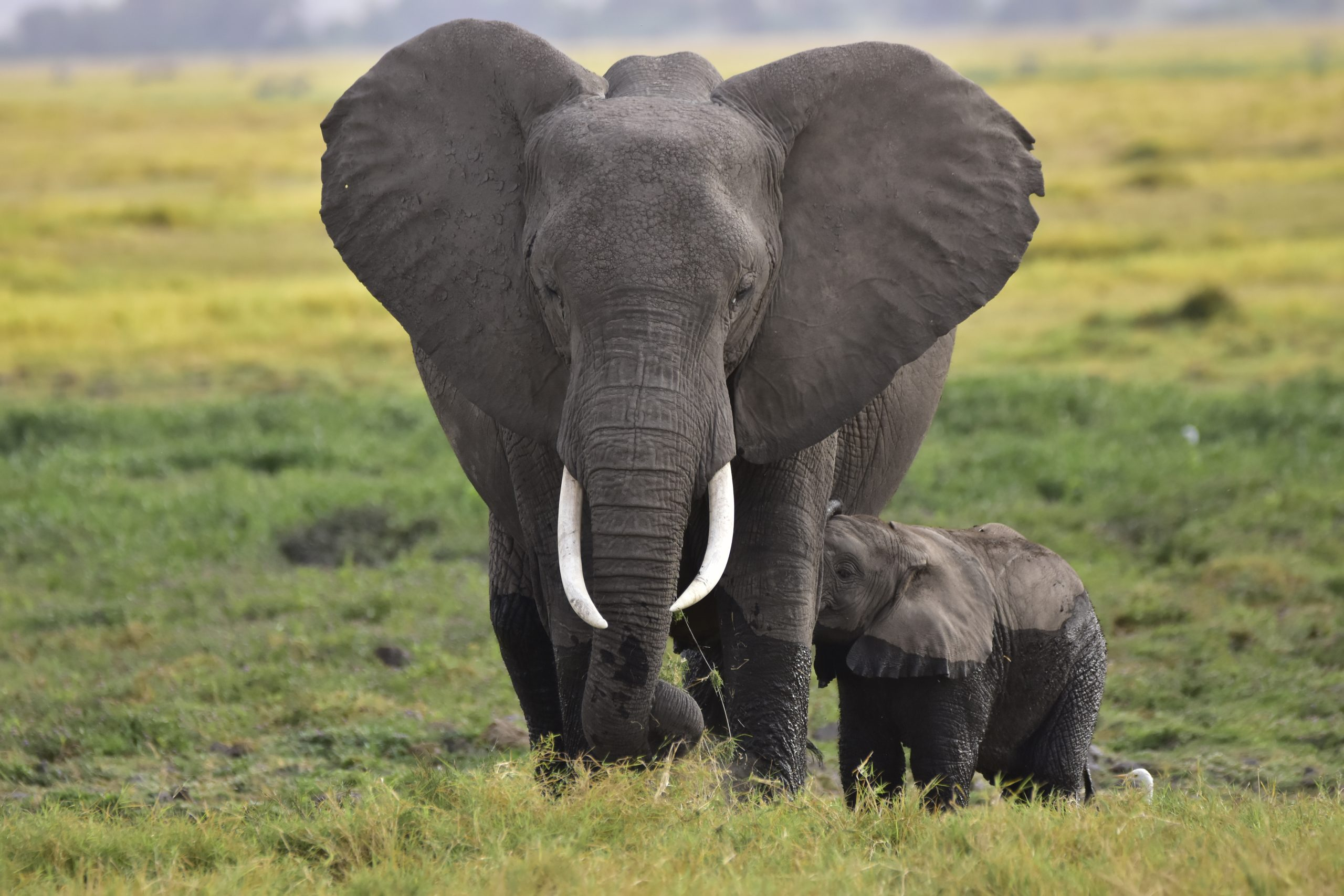 African Elephant and its calf