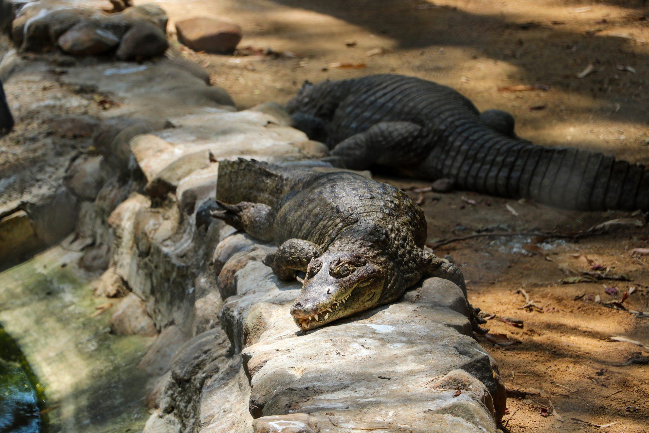 Alligators in a wildlife sanctuary
