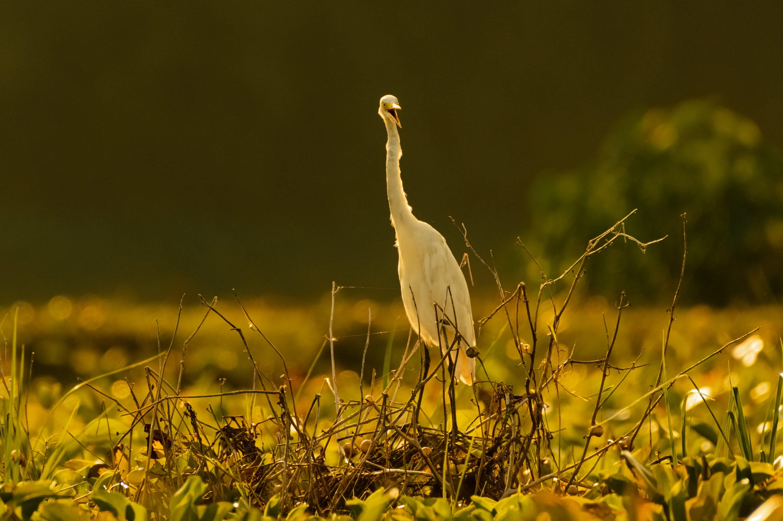 An Egret on grassland