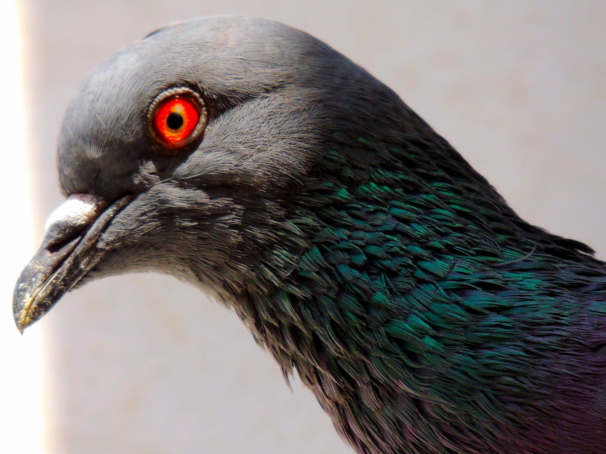 Red-eye pigeon