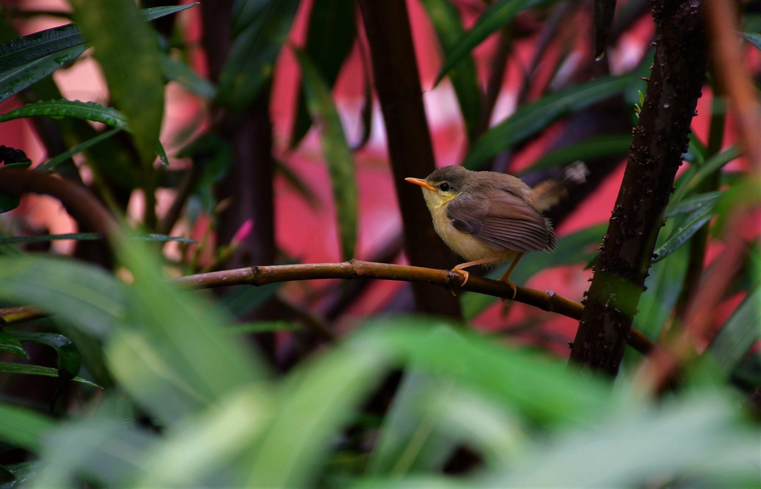 Ashy Prinia bird fledgling